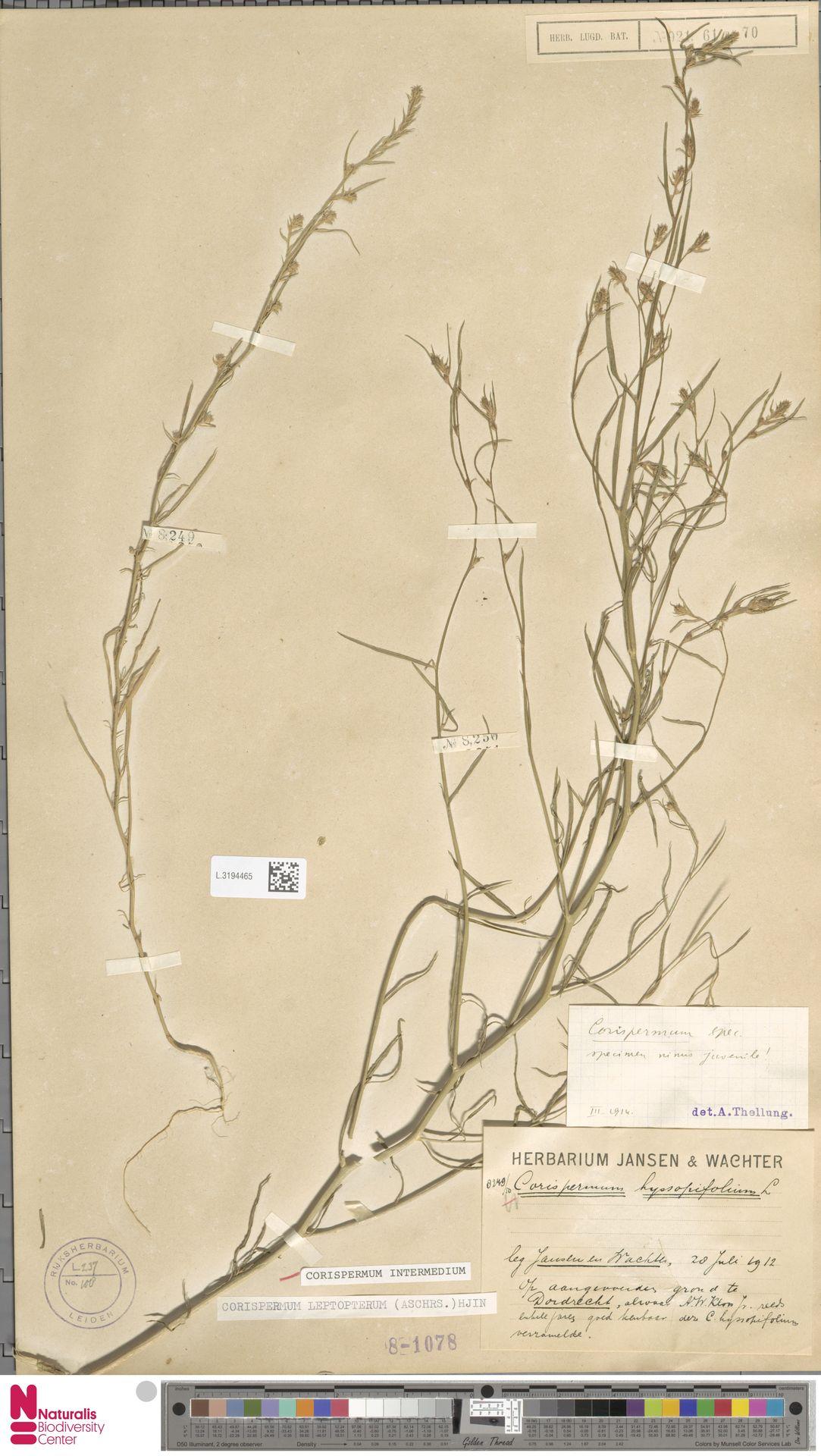 L.3194465 | Corispermum intermedium Schweigg.