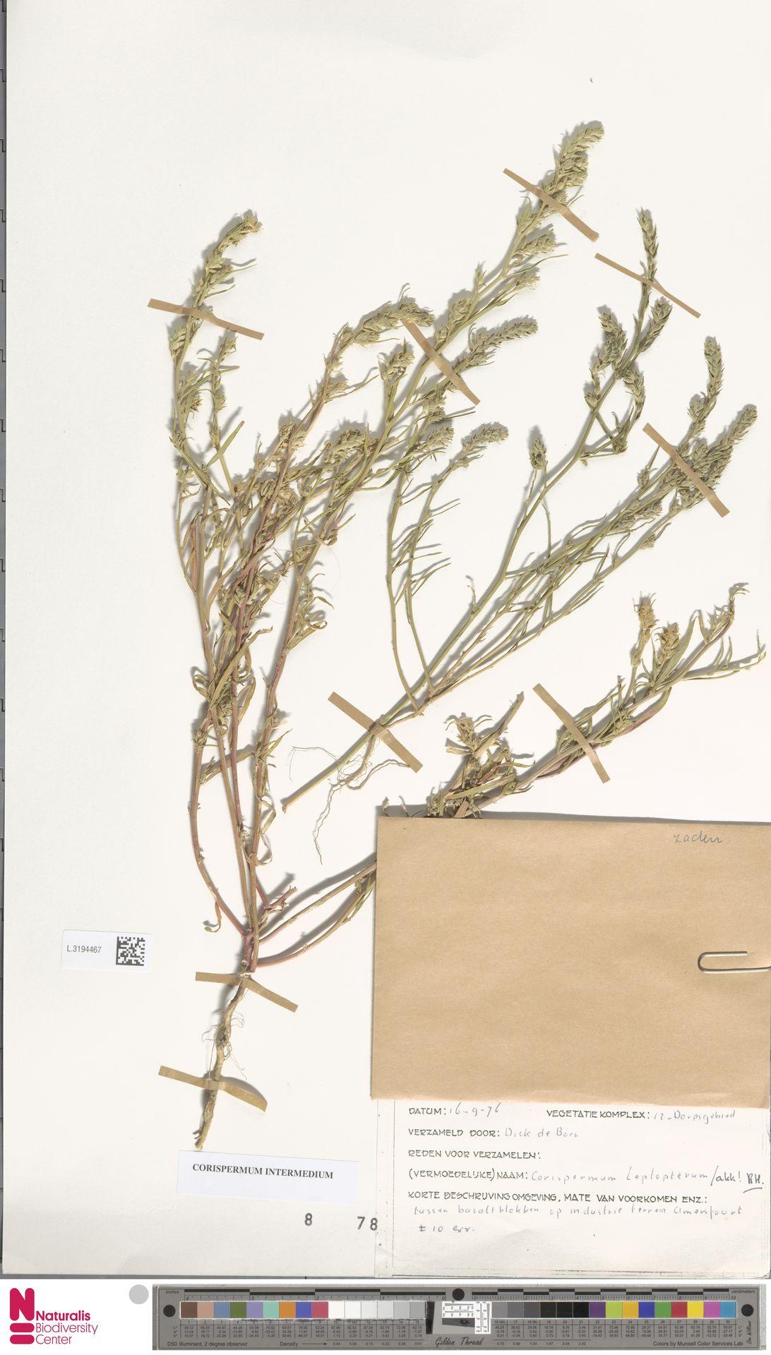 L.3194467 | Corispermum intermedium Schweigg.