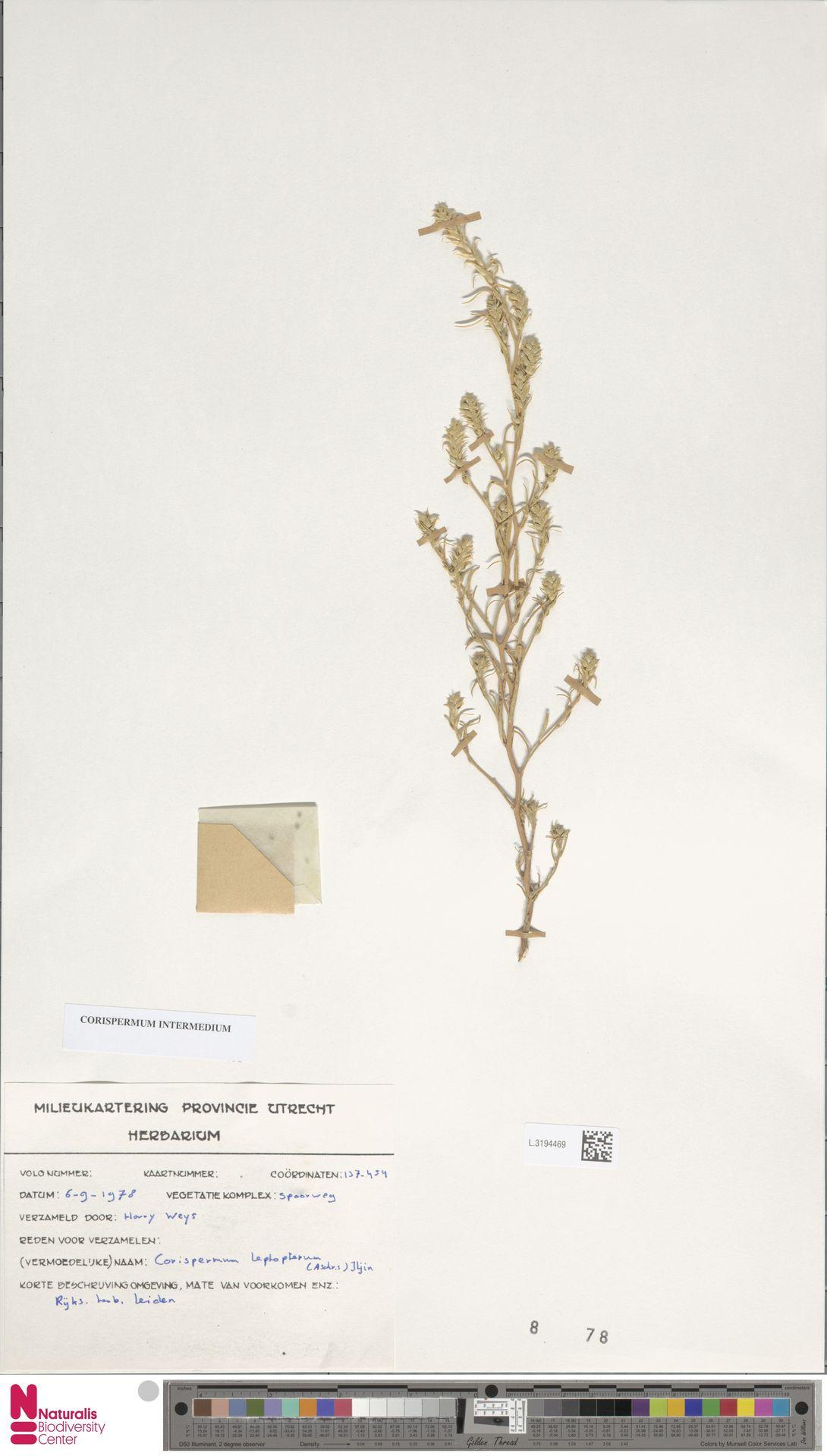 L.3194469 | Corispermum intermedium Schweigg.