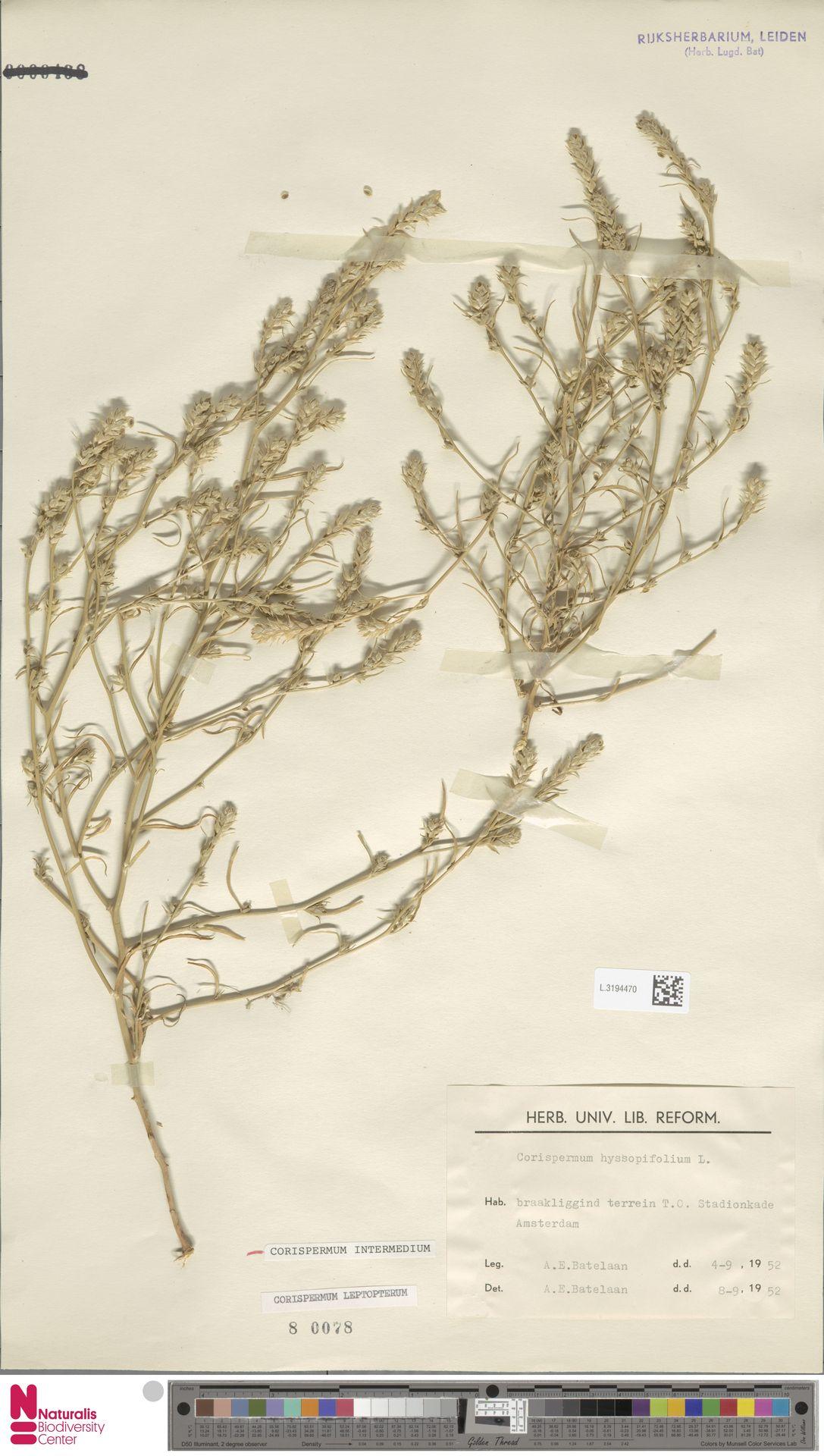 L.3194470 | Corispermum intermedium Schweigg.