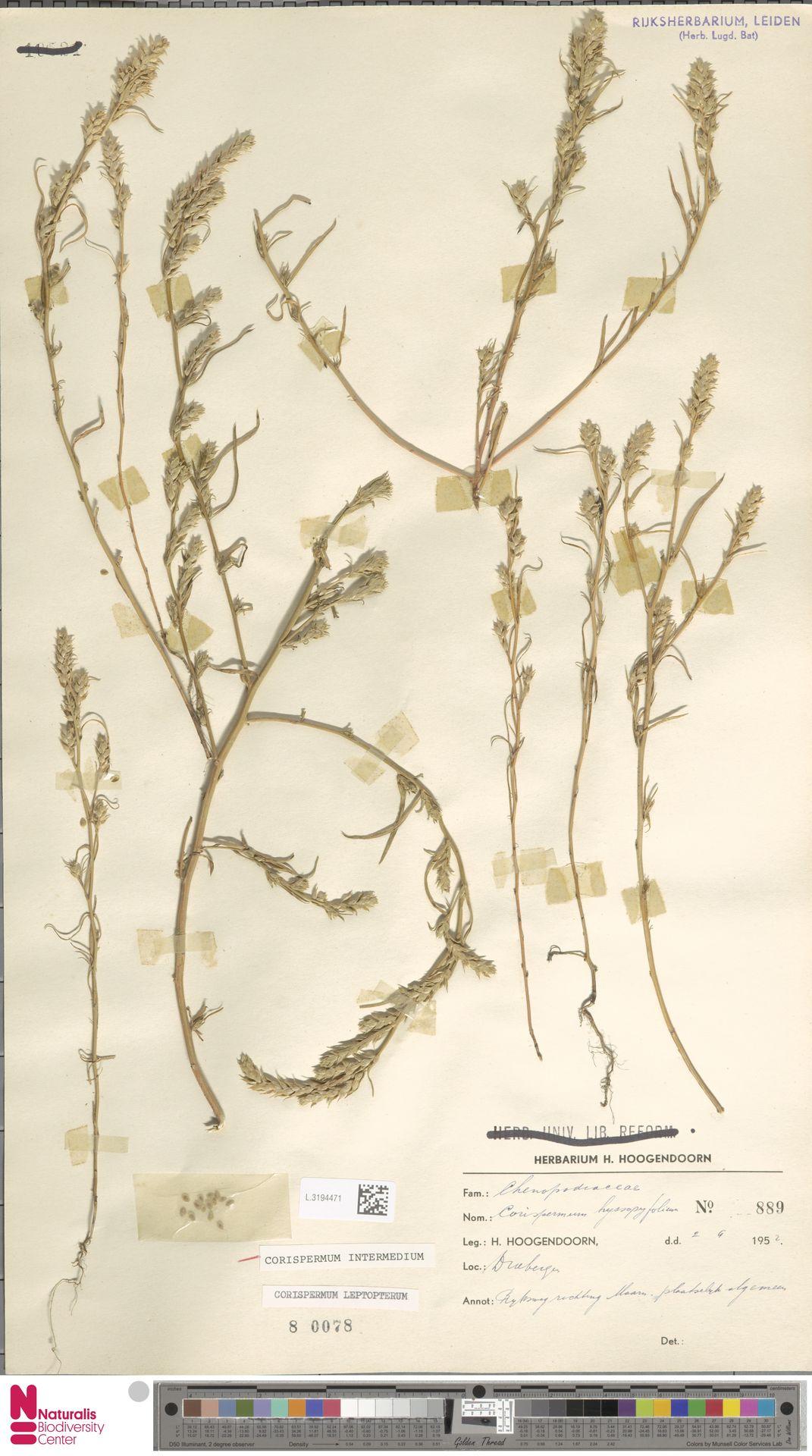 L.3194471 | Corispermum intermedium Schweigg.