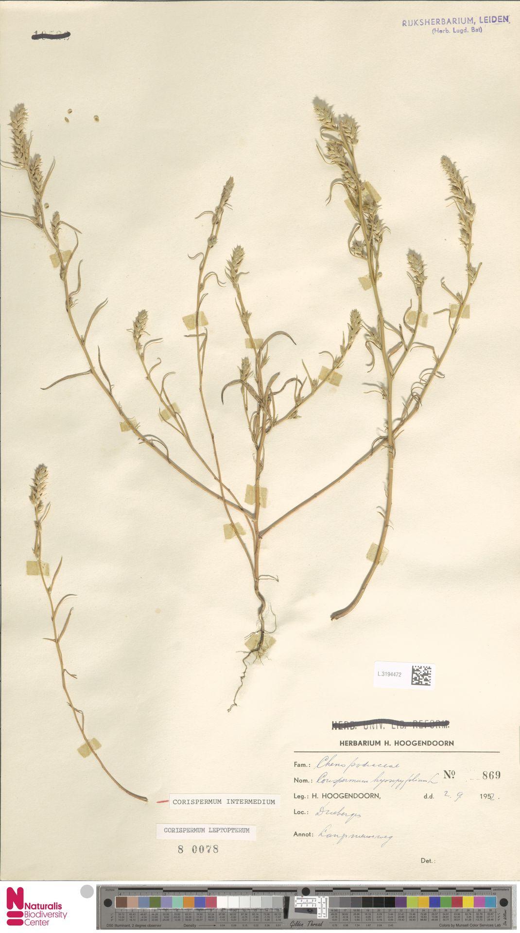 L.3194472 | Corispermum intermedium Schweigg.