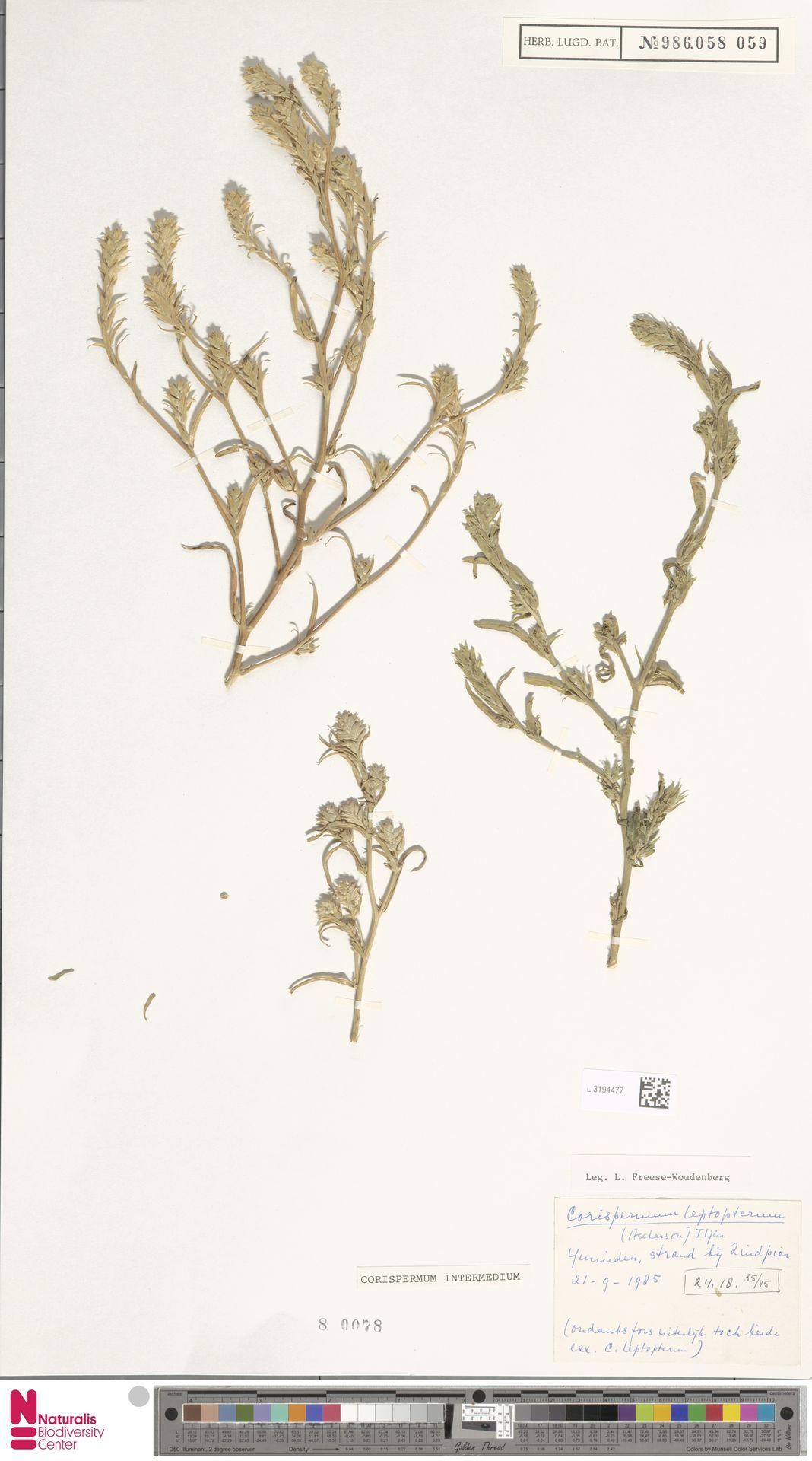 L.3194477 | Corispermum intermedium Schweigg.