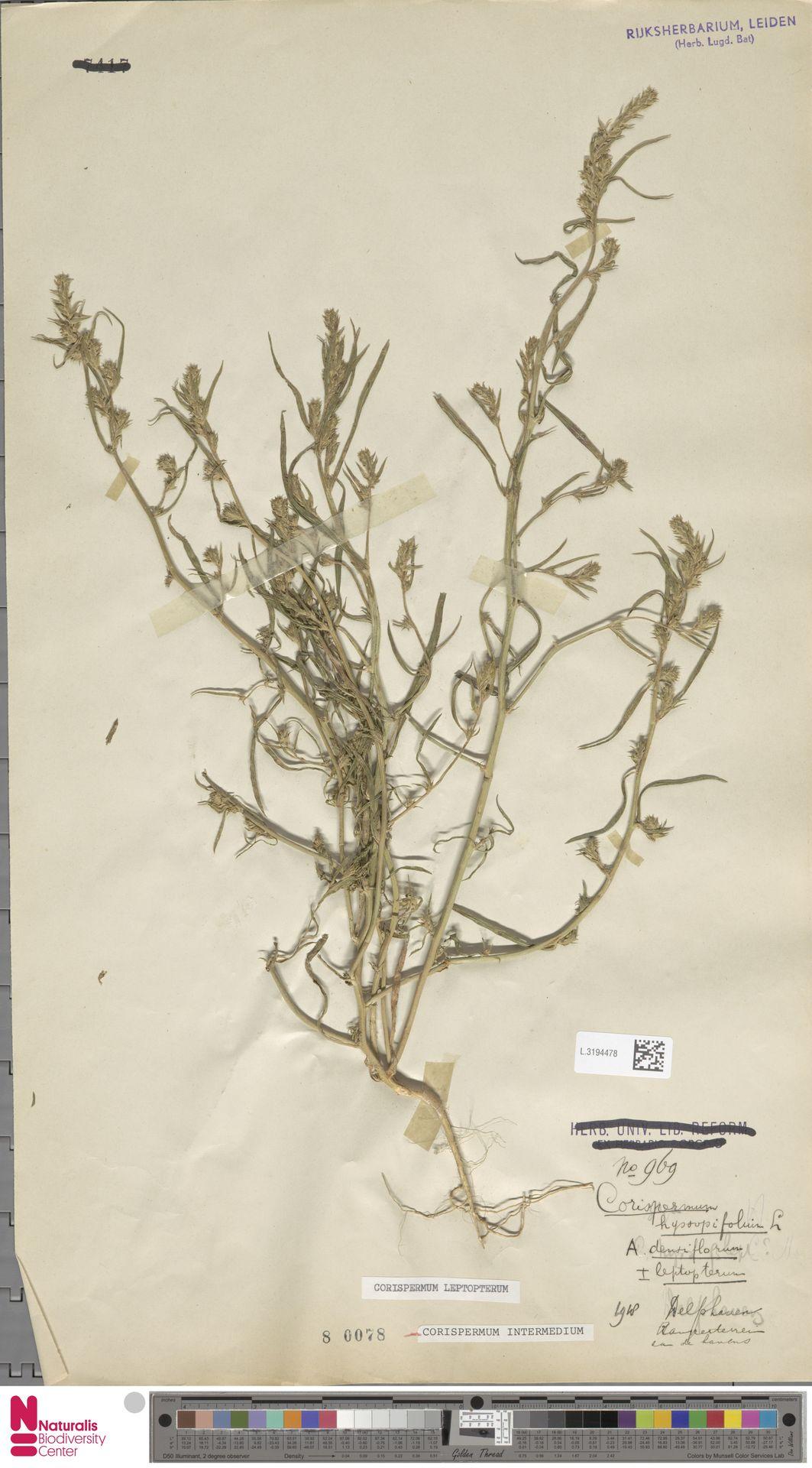 L.3194478   Corispermum intermedium Schweigg.