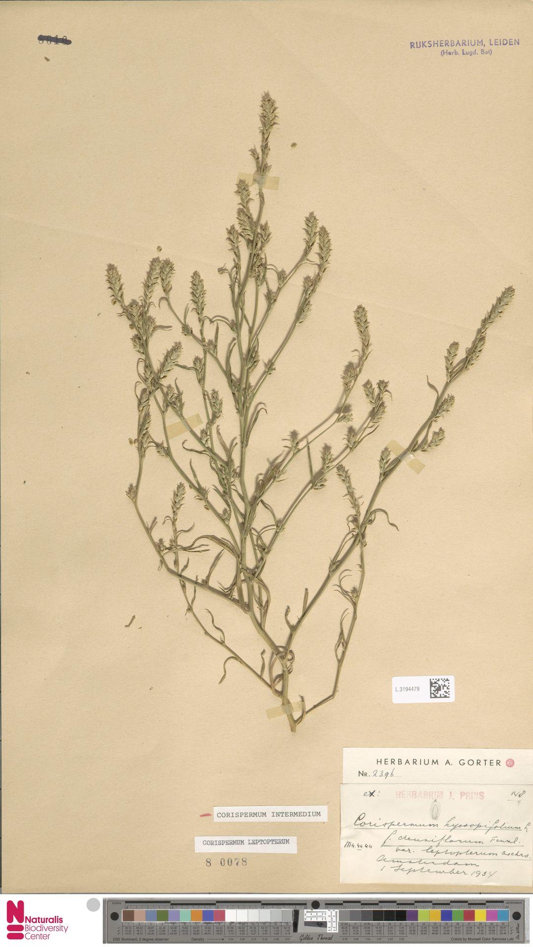 L.3194479 | Corispermum intermedium Schweigg.