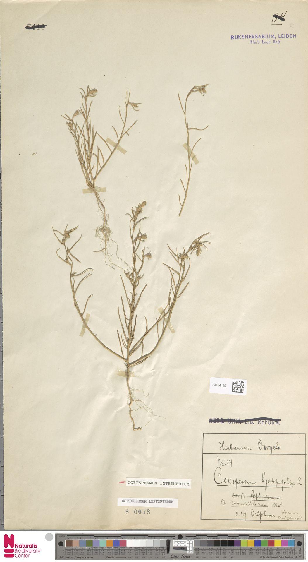 L.3194480 | Corispermum intermedium Schweigg.