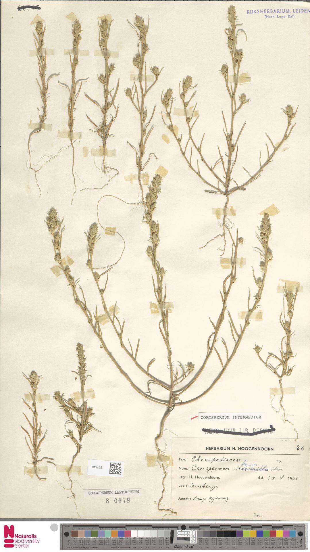 L.3194481 | Corispermum intermedium Schweigg.