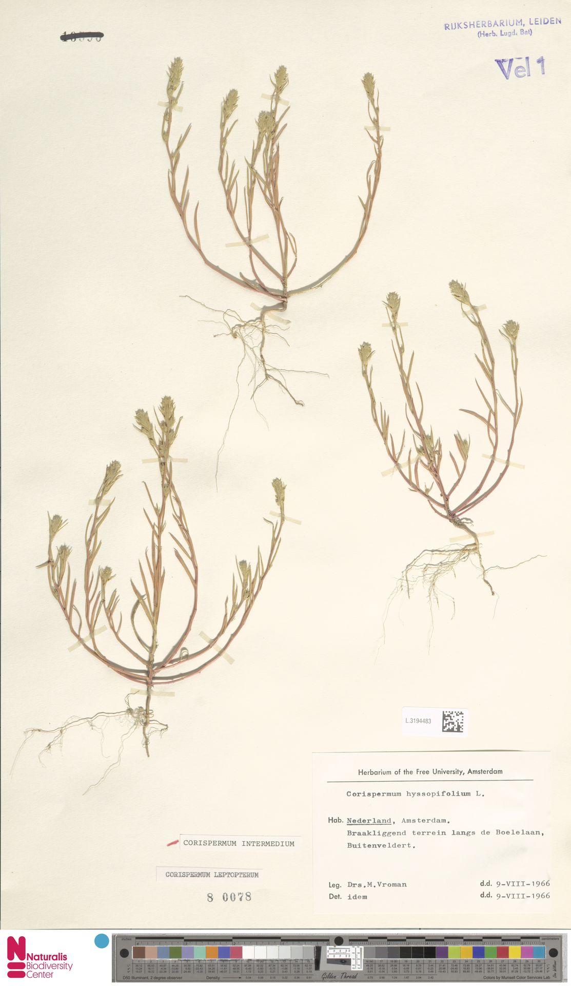 L.3194483 | Corispermum intermedium Schweigg.
