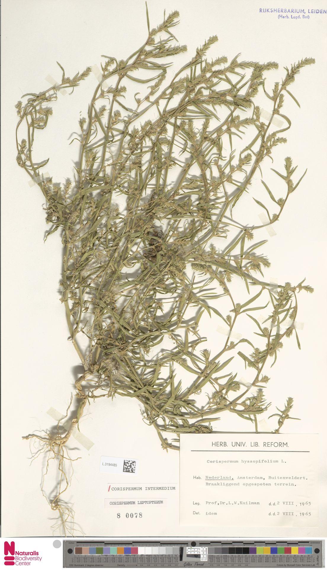 L.3194485 | Corispermum intermedium Schweigg.