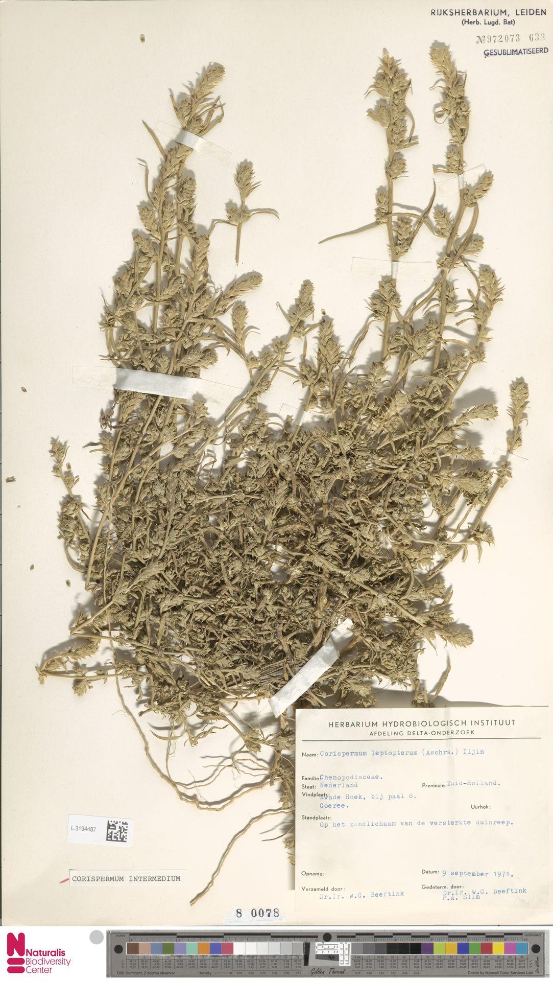 L.3194487 | Corispermum intermedium Schweigg.