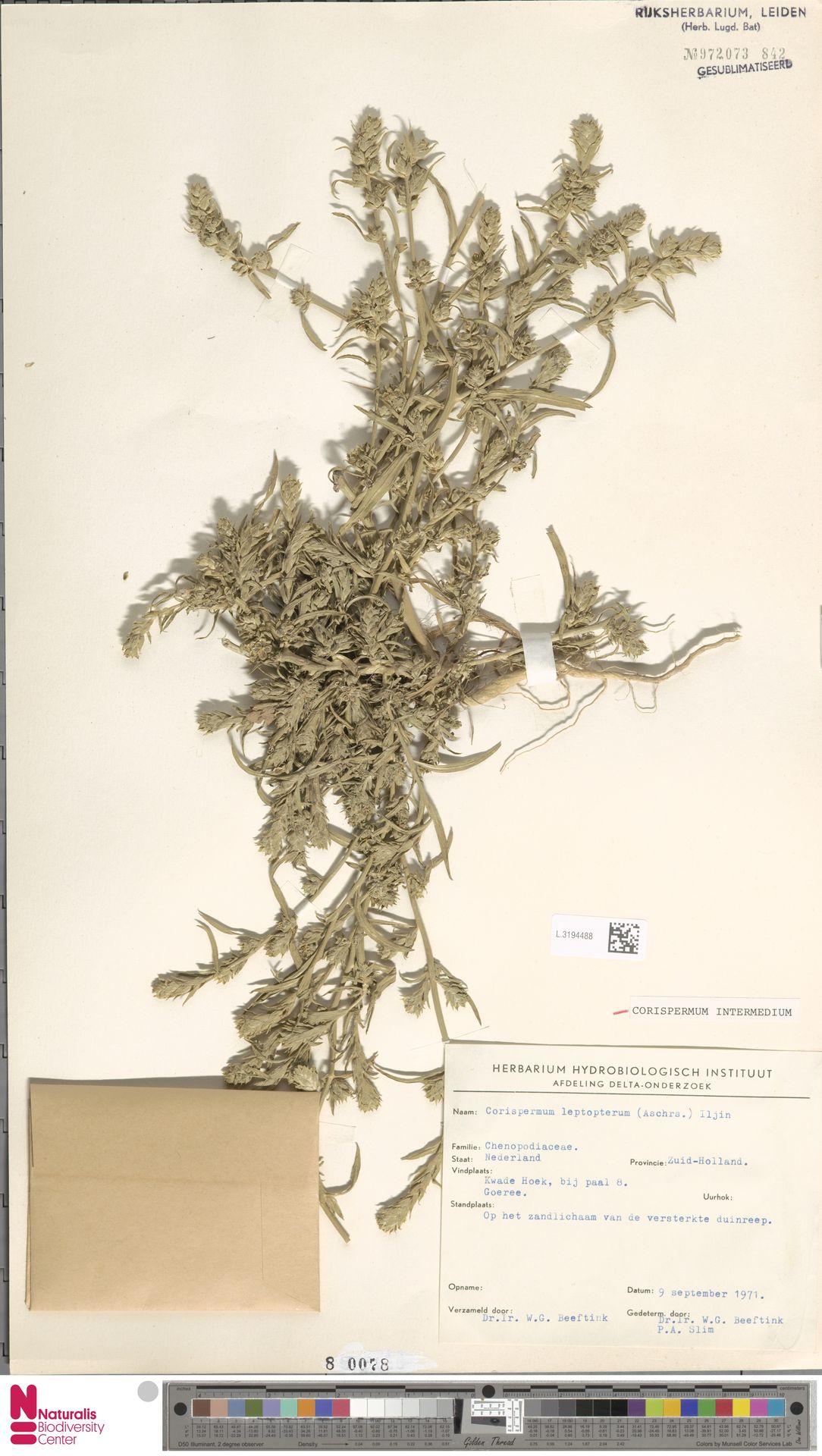 L.3194488 | Corispermum intermedium Schweigg.