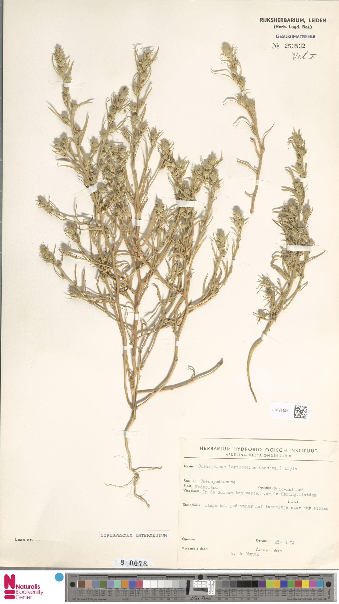 L.3194489 | Corispermum intermedium Schweigg.