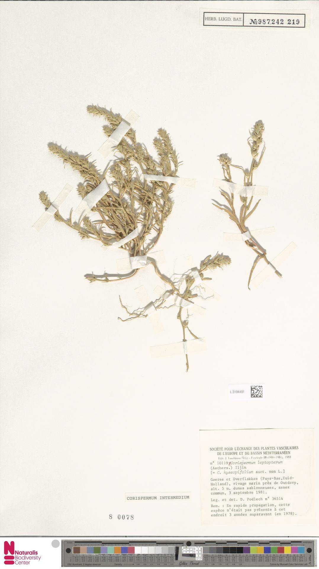 L.3194491 | Corispermum intermedium Schweigg.