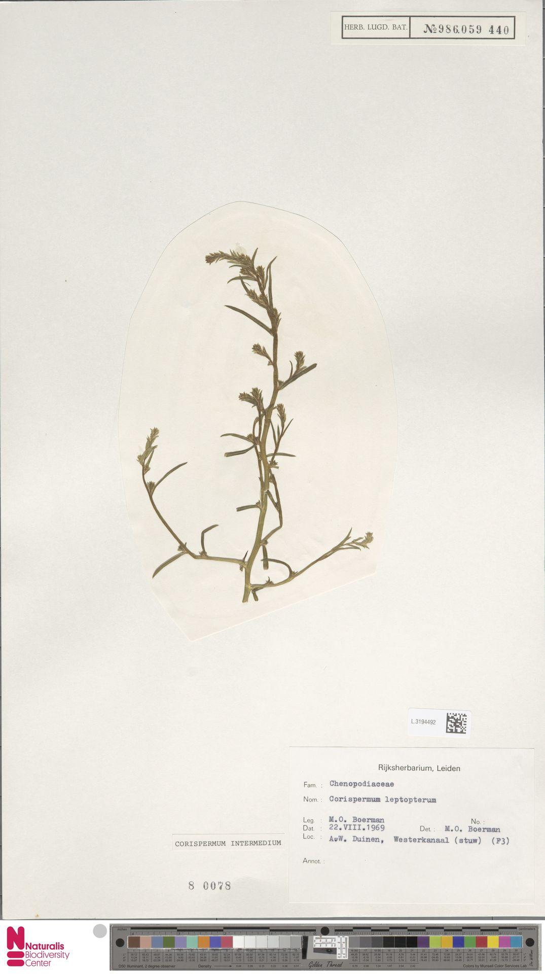 L.3194492 | Corispermum intermedium Schweigg.