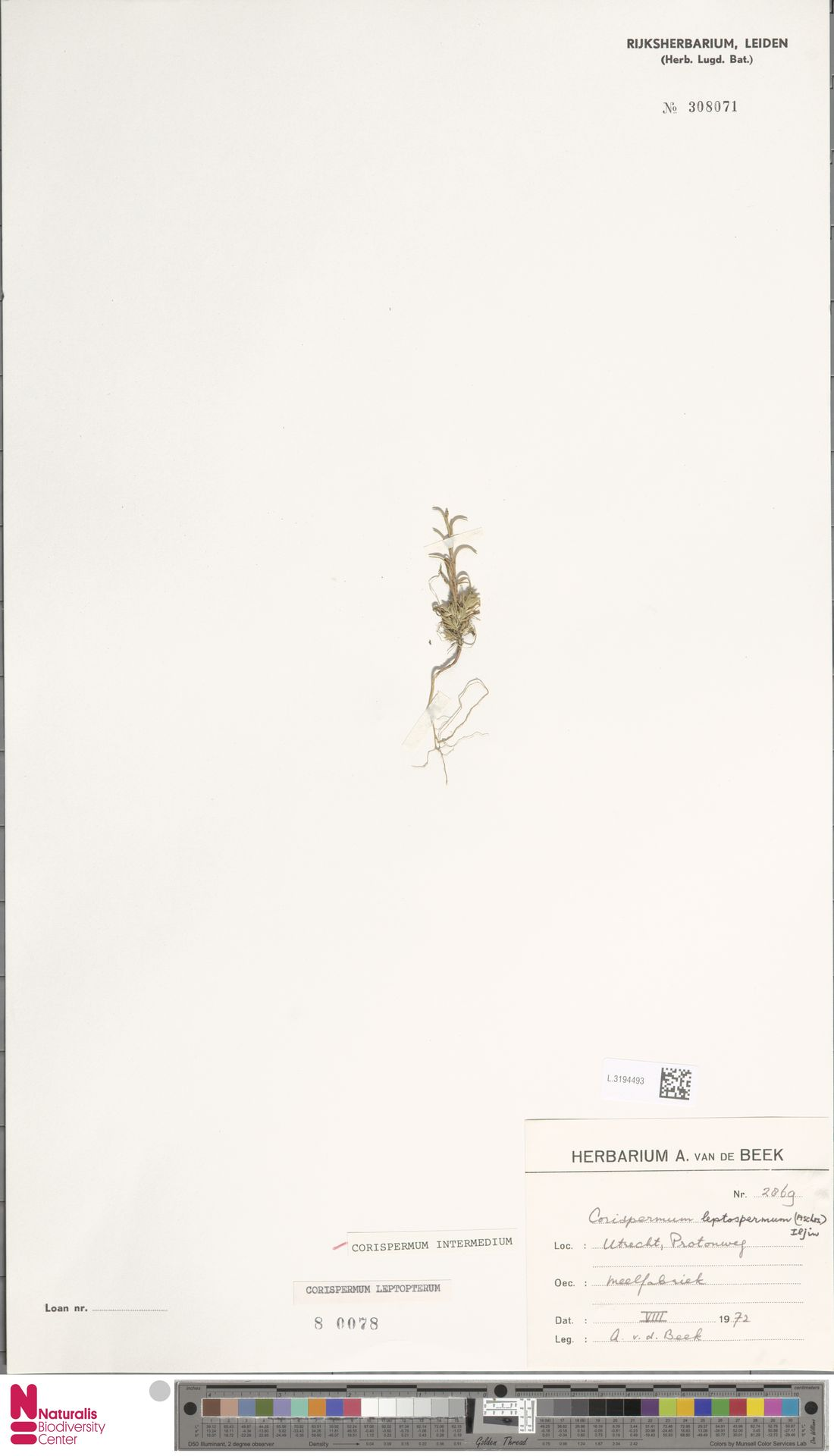 L.3194493 | Corispermum intermedium Schweigg.