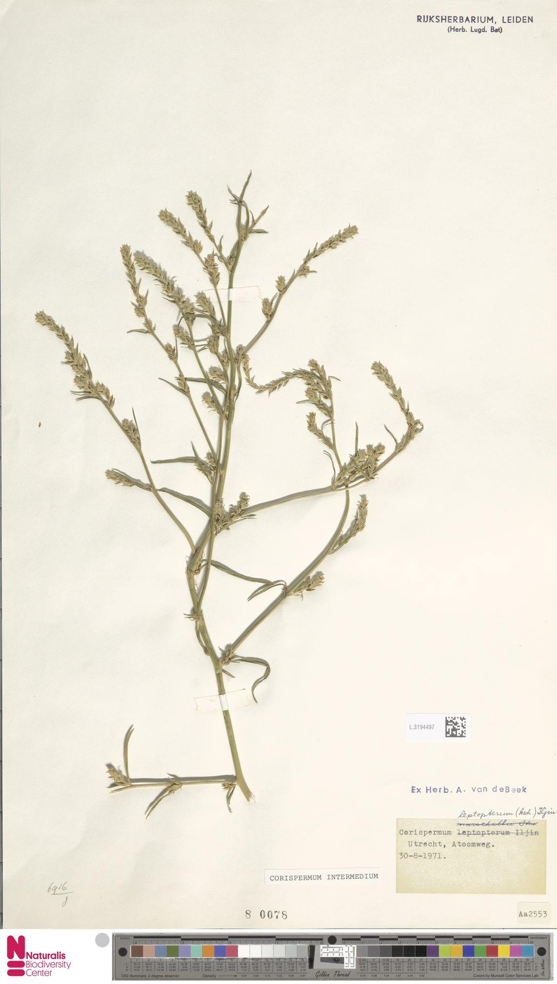 L.3194497 | Corispermum intermedium Schweigg.