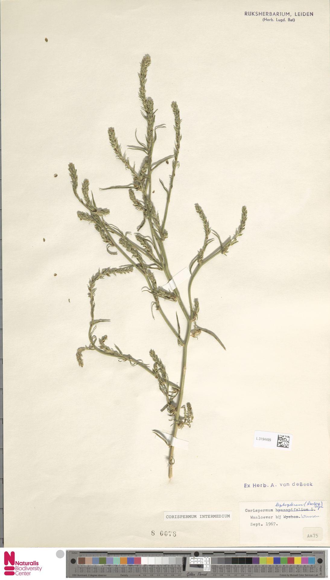 L.3194499 | Corispermum intermedium Schweigg.