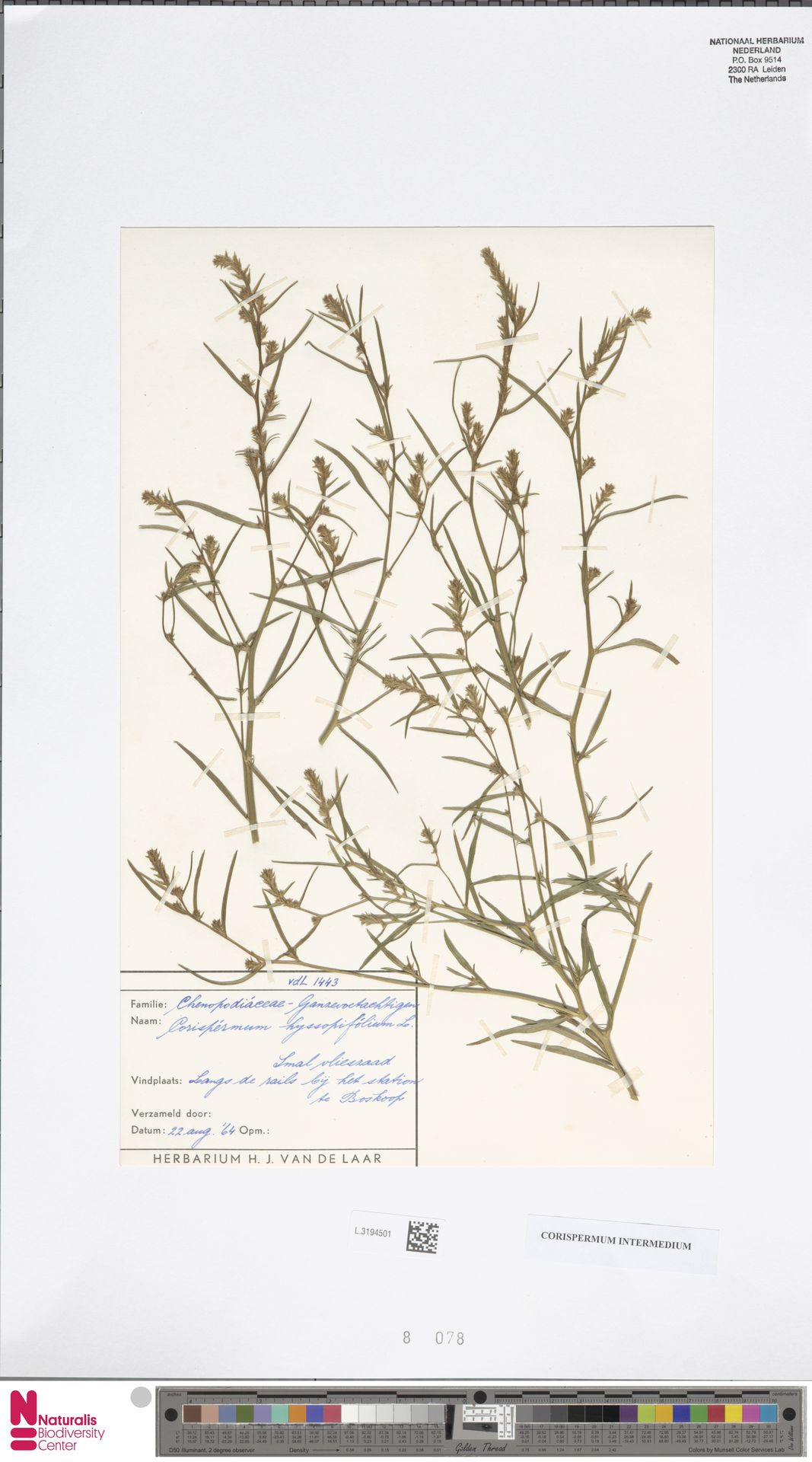 L.3194501 | Corispermum intermedium Schweigg.