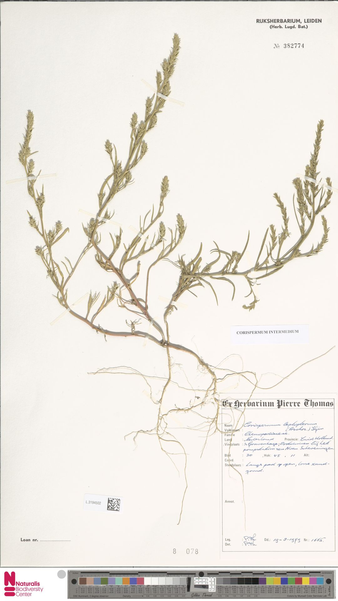 L.3194502 | Corispermum intermedium Schweigg.
