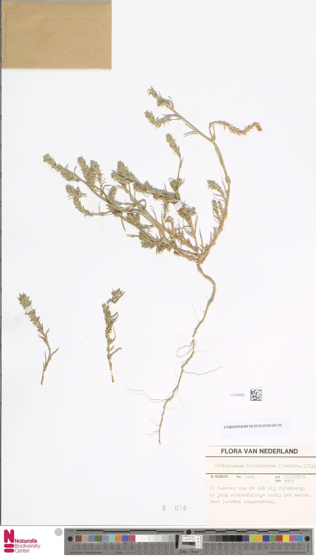 L.3194503 | Corispermum intermedium Schweigg.