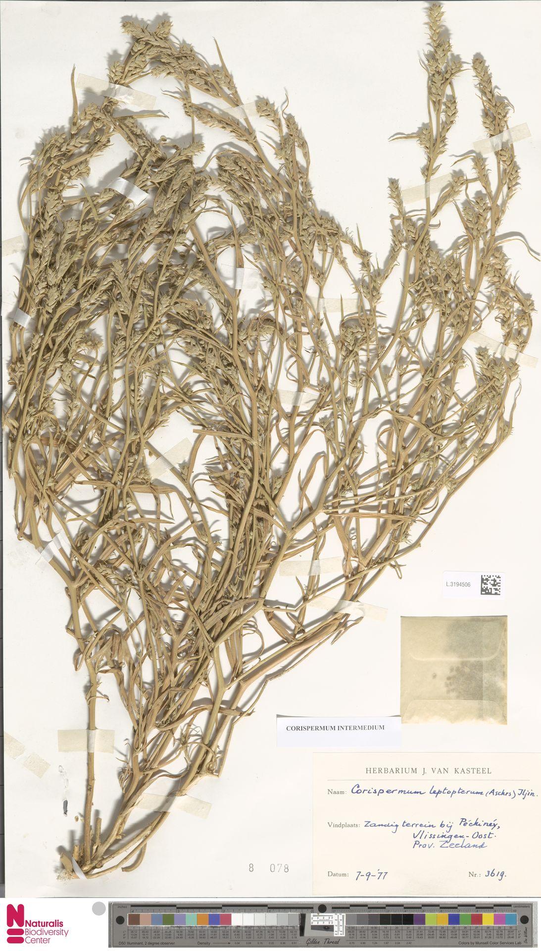 L.3194506 | Corispermum intermedium Schweigg.
