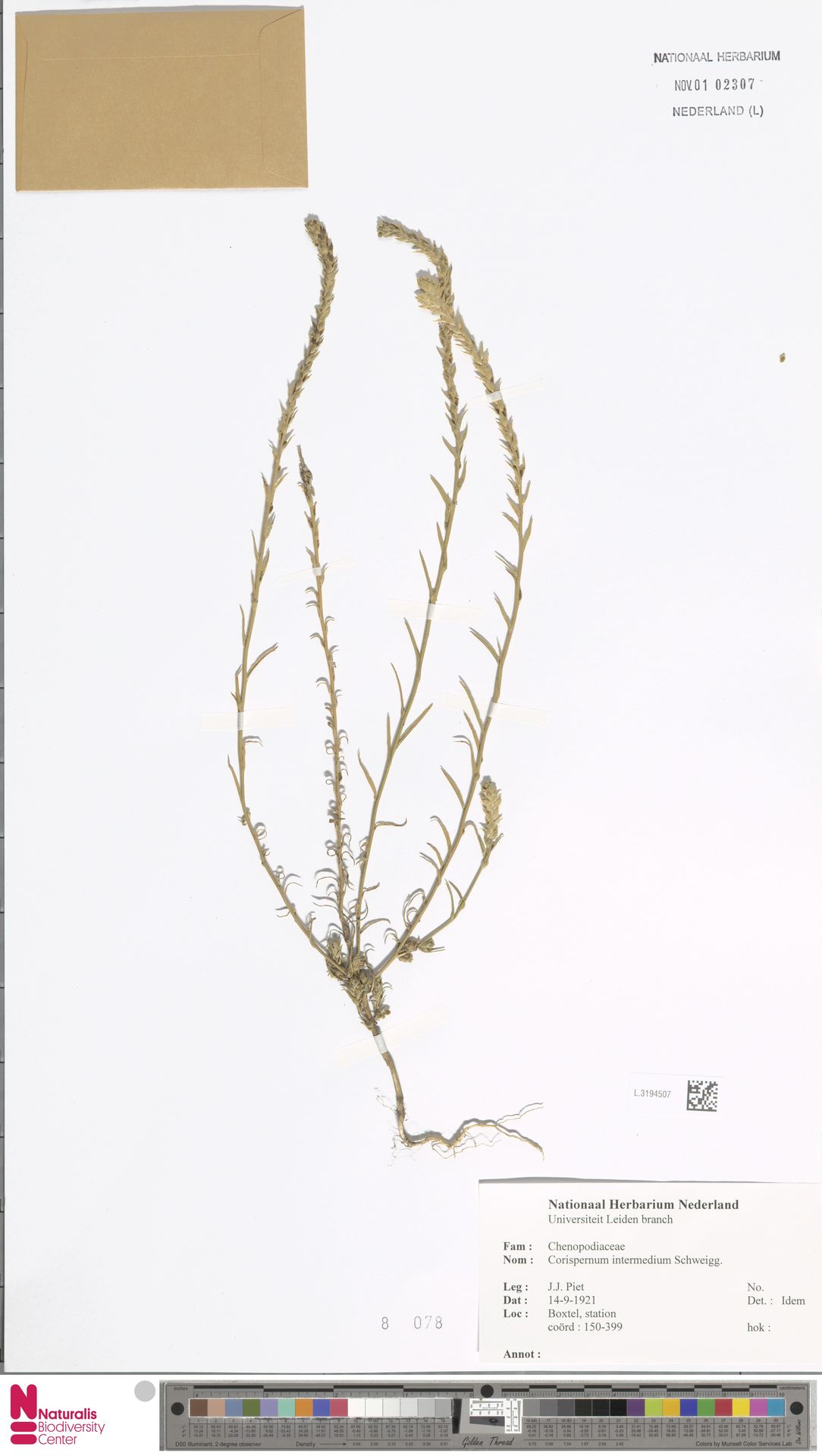 L.3194507 | Corispermum intermedium Schweigg.