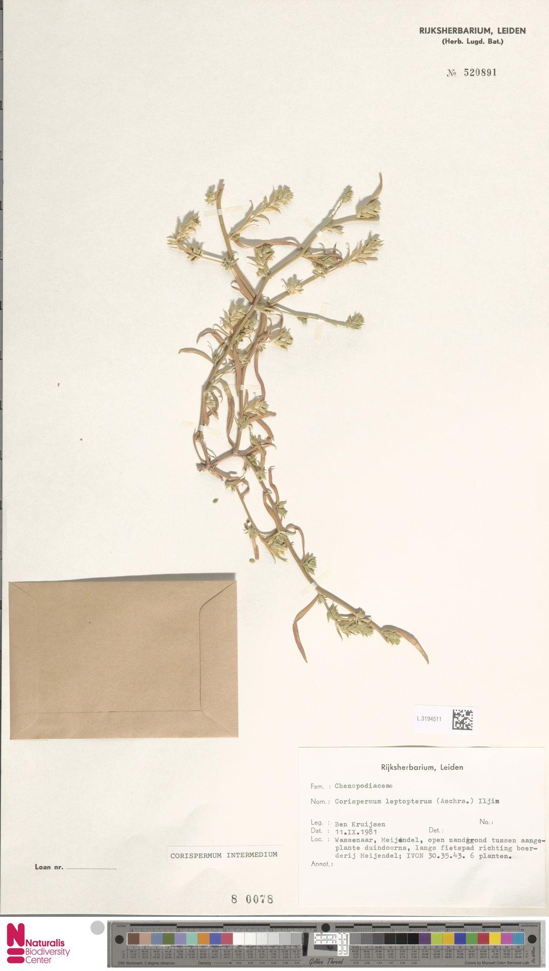 L.3194511 | Corispermum intermedium Schweigg.