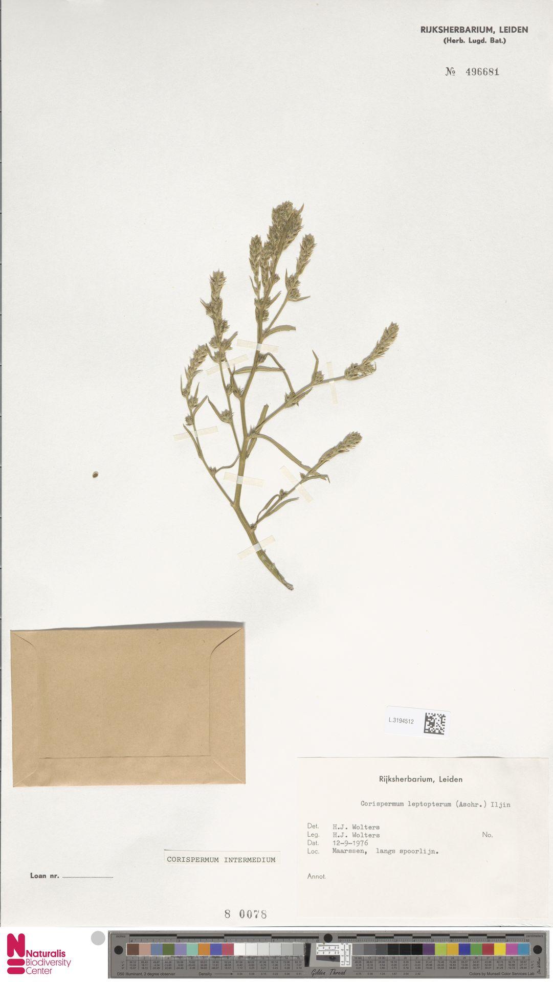 L.3194512 | Corispermum intermedium Schweigg.