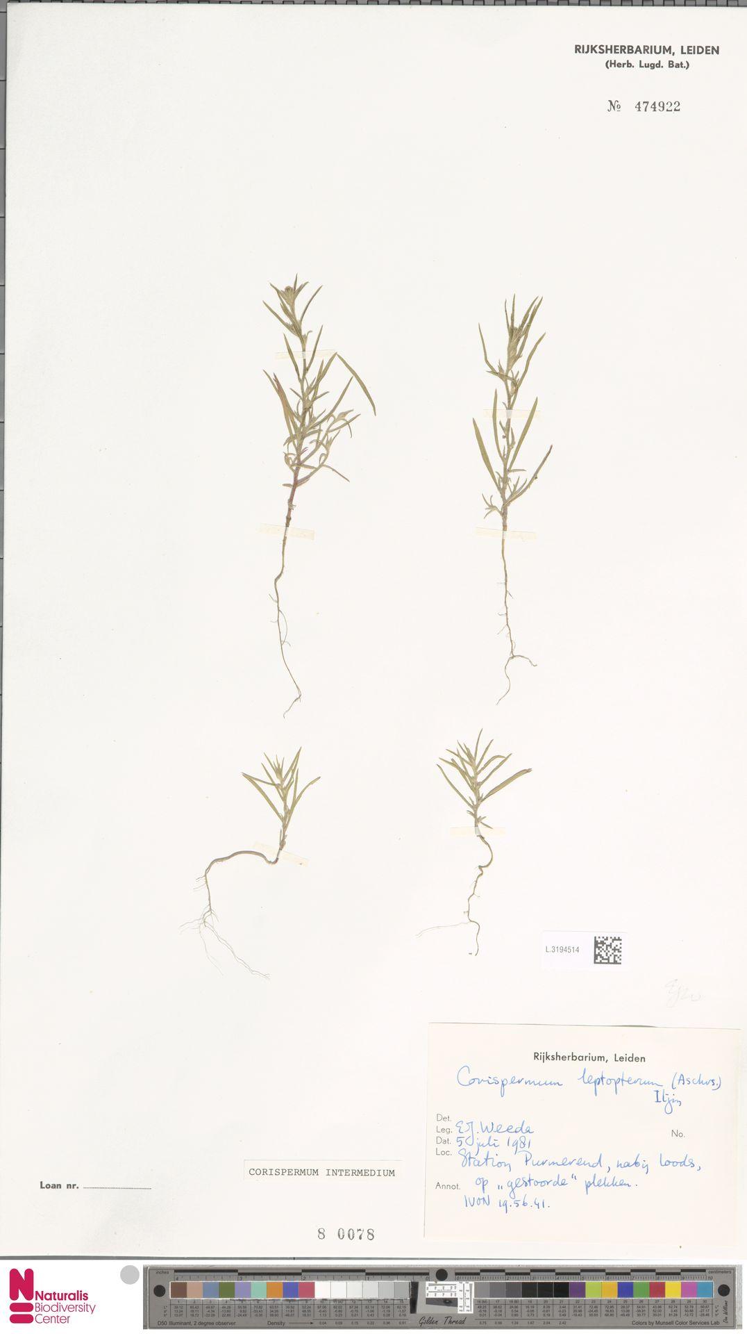 L.3194514 | Corispermum intermedium Schweigg.