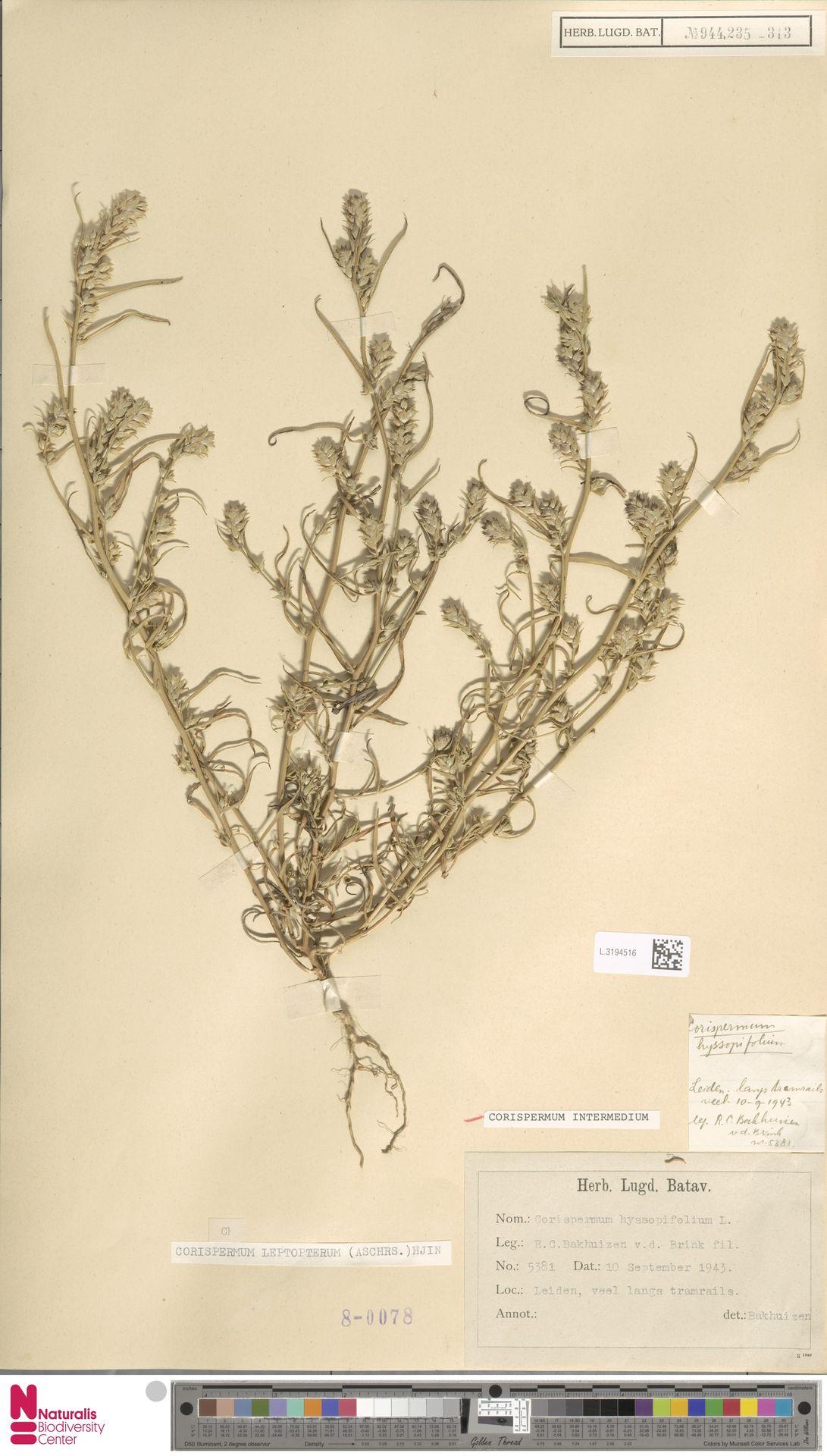 L.3194516 | Corispermum intermedium Schweigg.