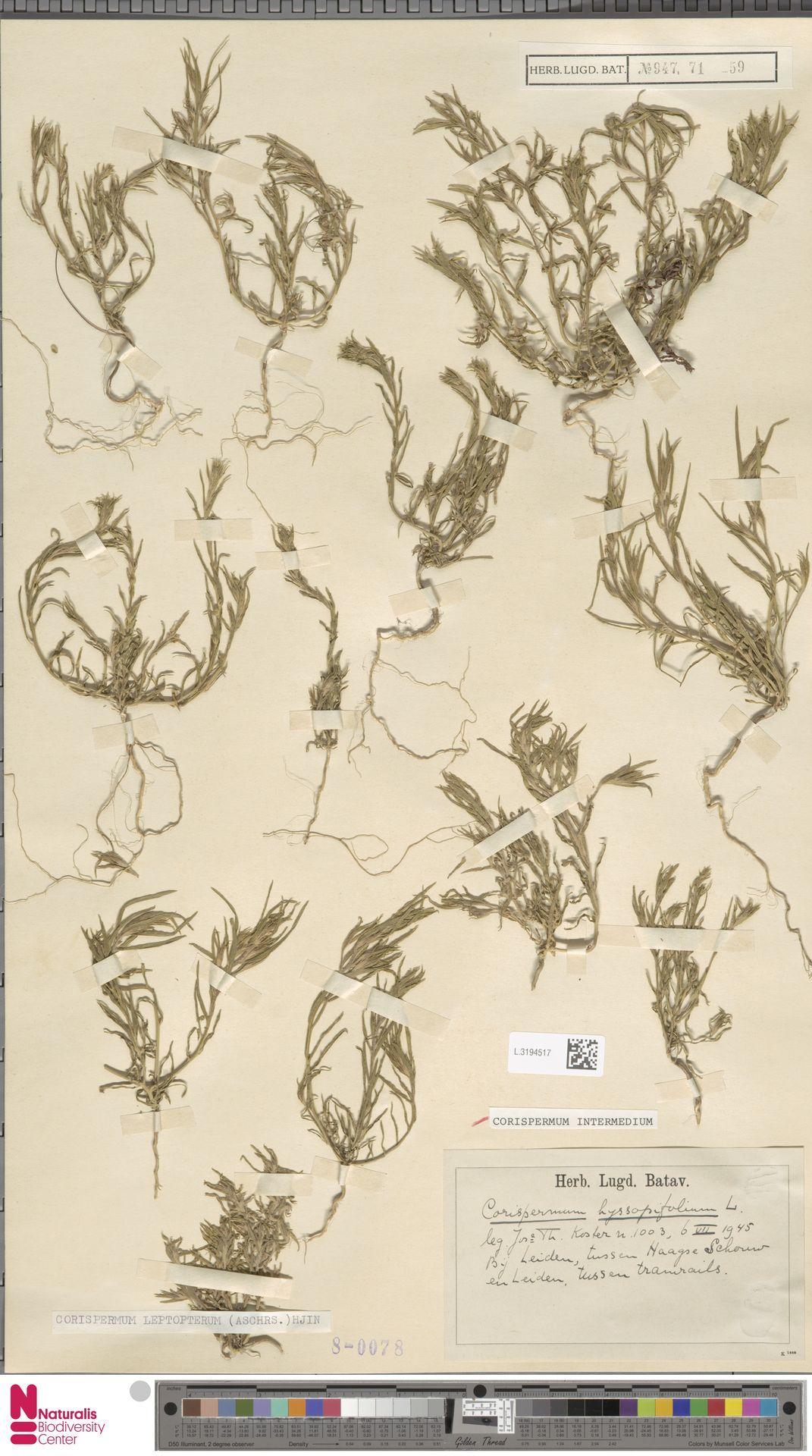 L.3194517 | Corispermum intermedium Schweigg.