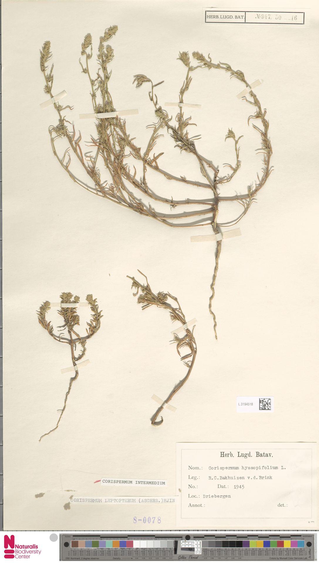 L.3194518 | Corispermum intermedium Schweigg.