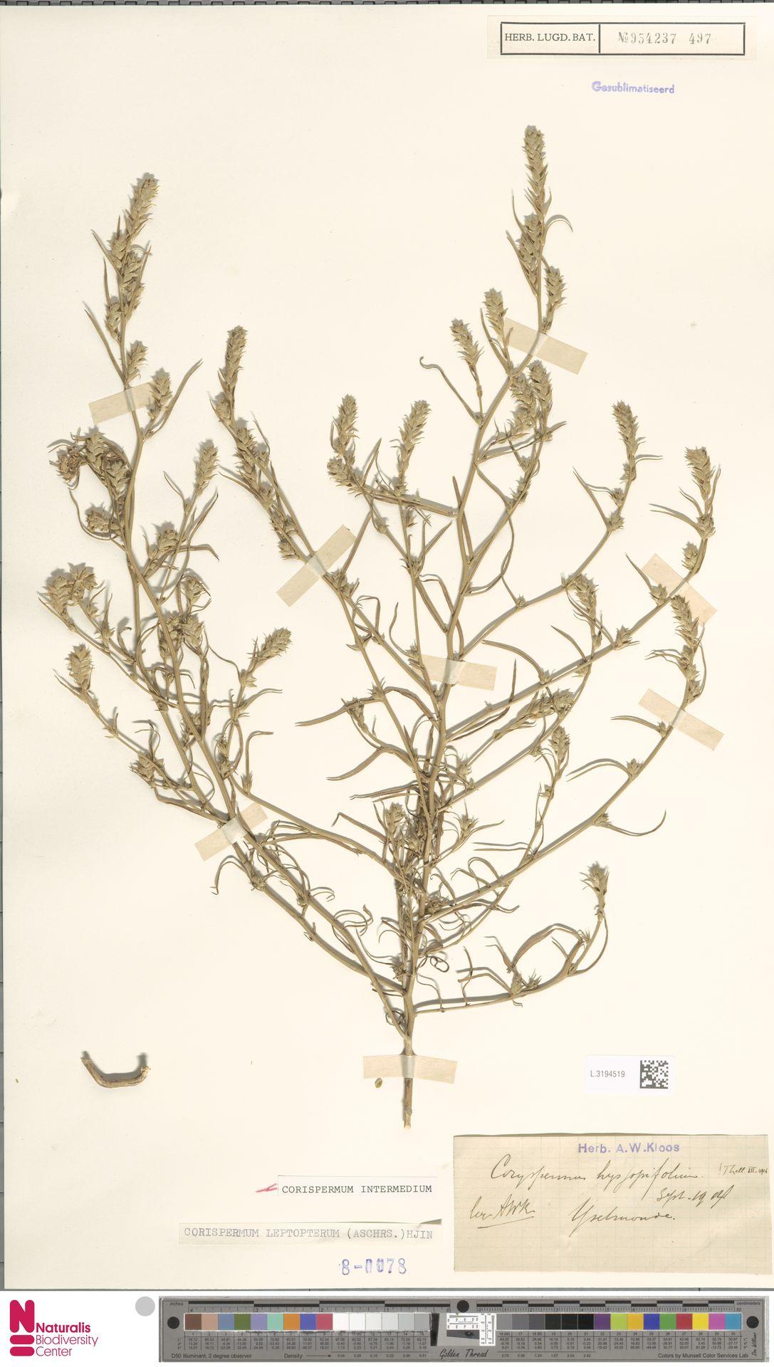 L.3194519 | Corispermum intermedium Schweigg.