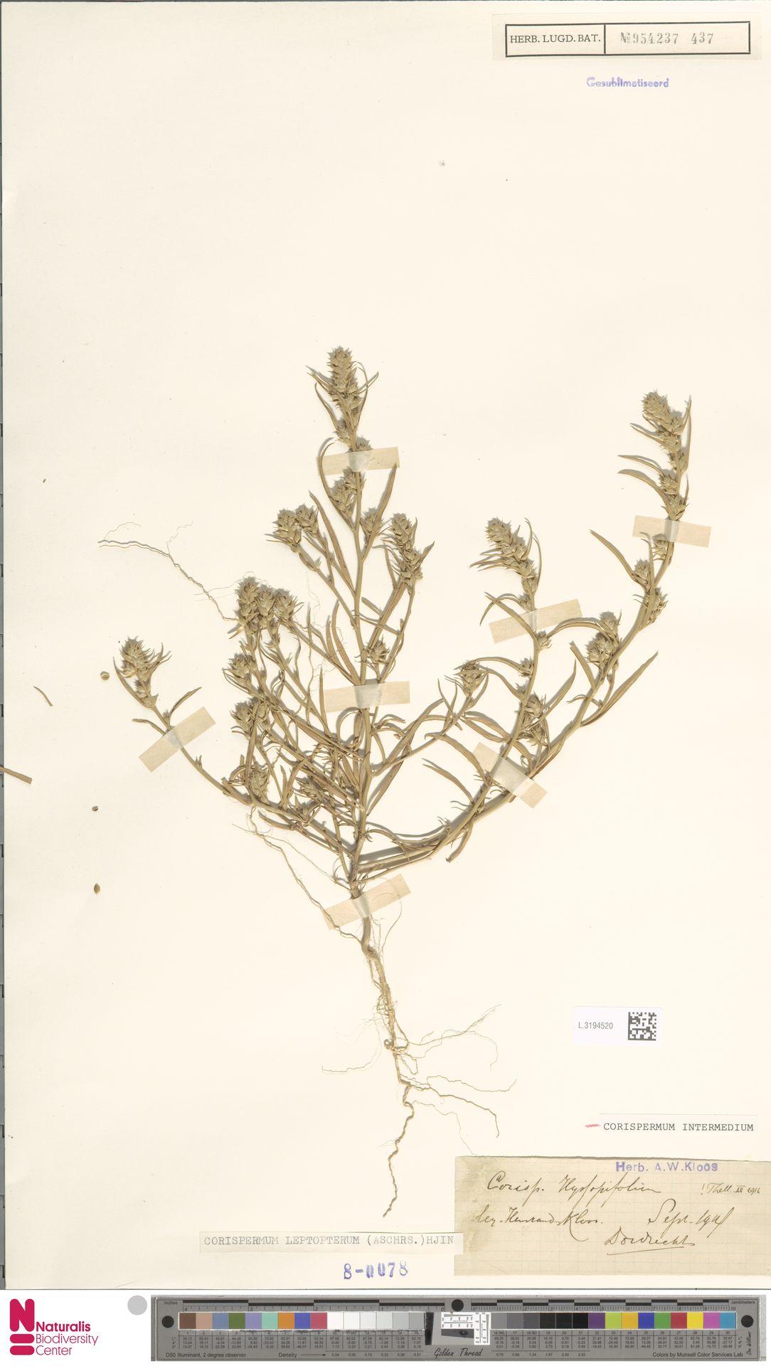 L.3194520 | Corispermum intermedium Schweigg.