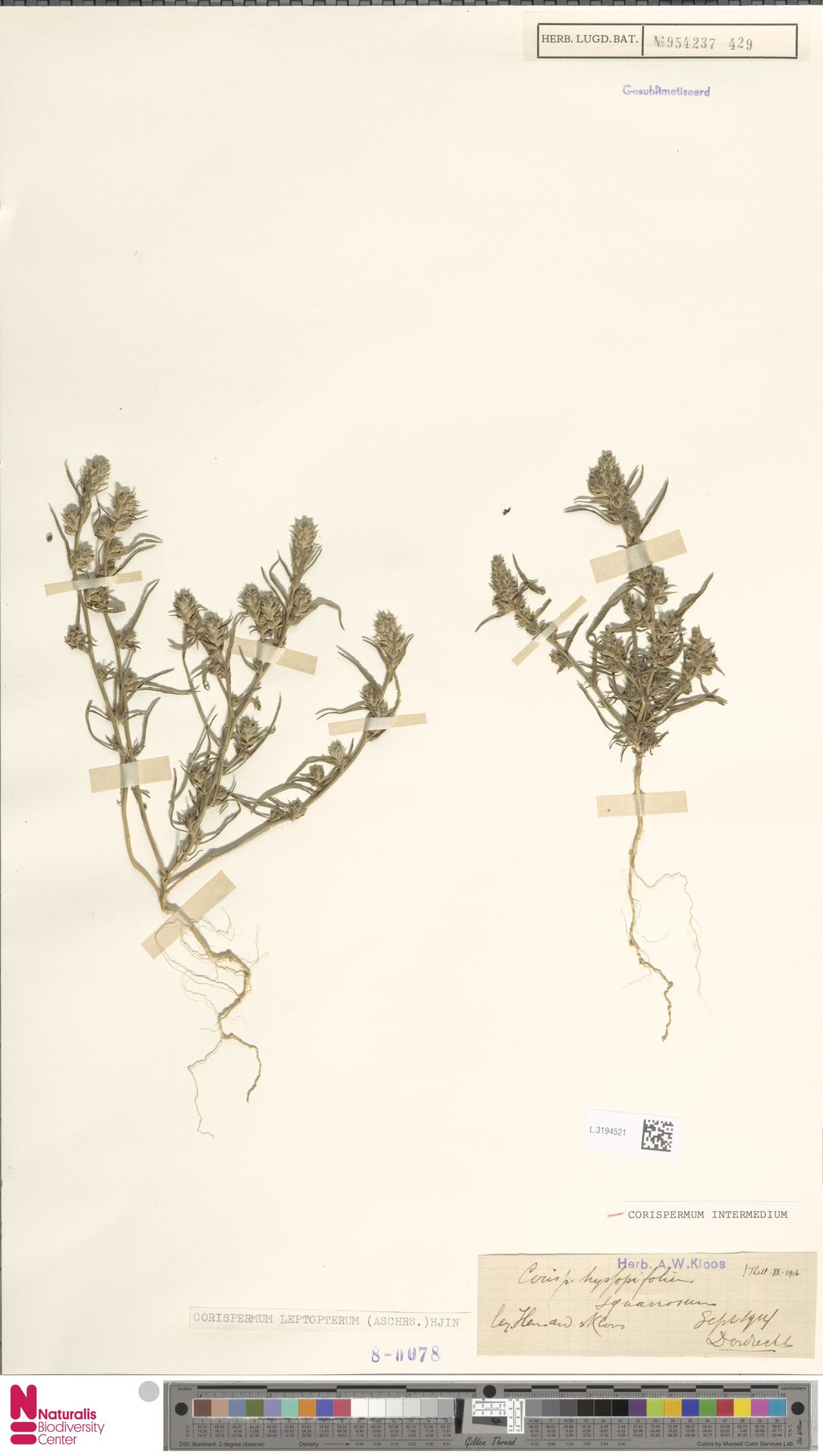 L.3194521 | Corispermum intermedium Schweigg.