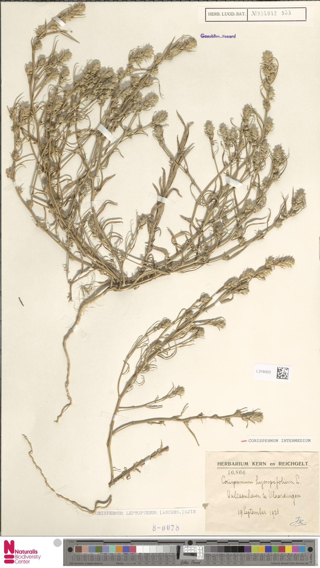 L.3194523 | Corispermum intermedium Schweigg.