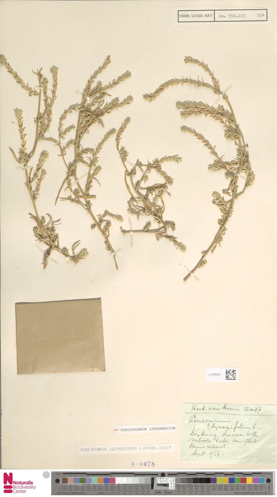 L.3194524 | Corispermum intermedium Schweigg.