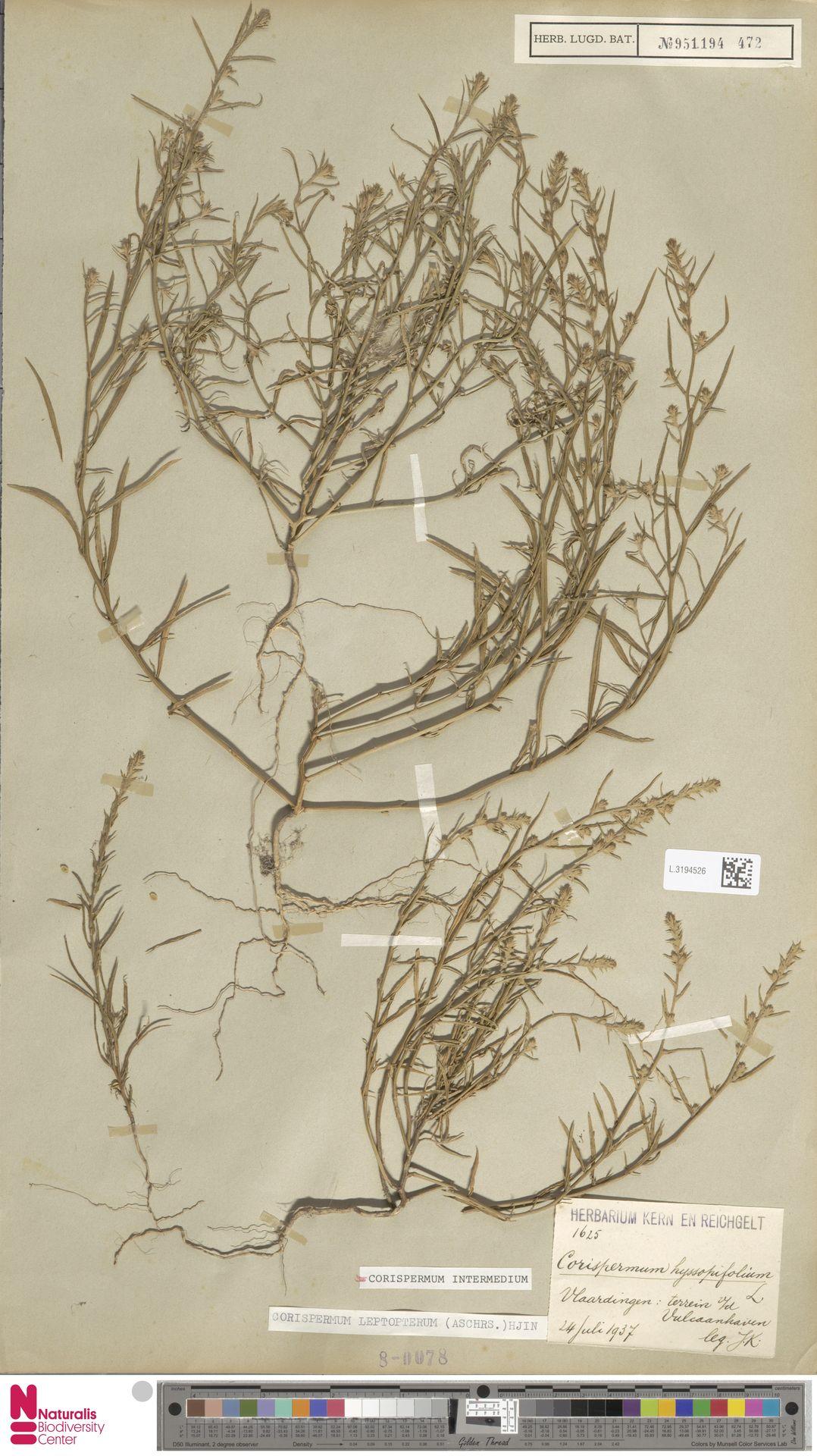 L.3194526 | Corispermum intermedium Schweigg.