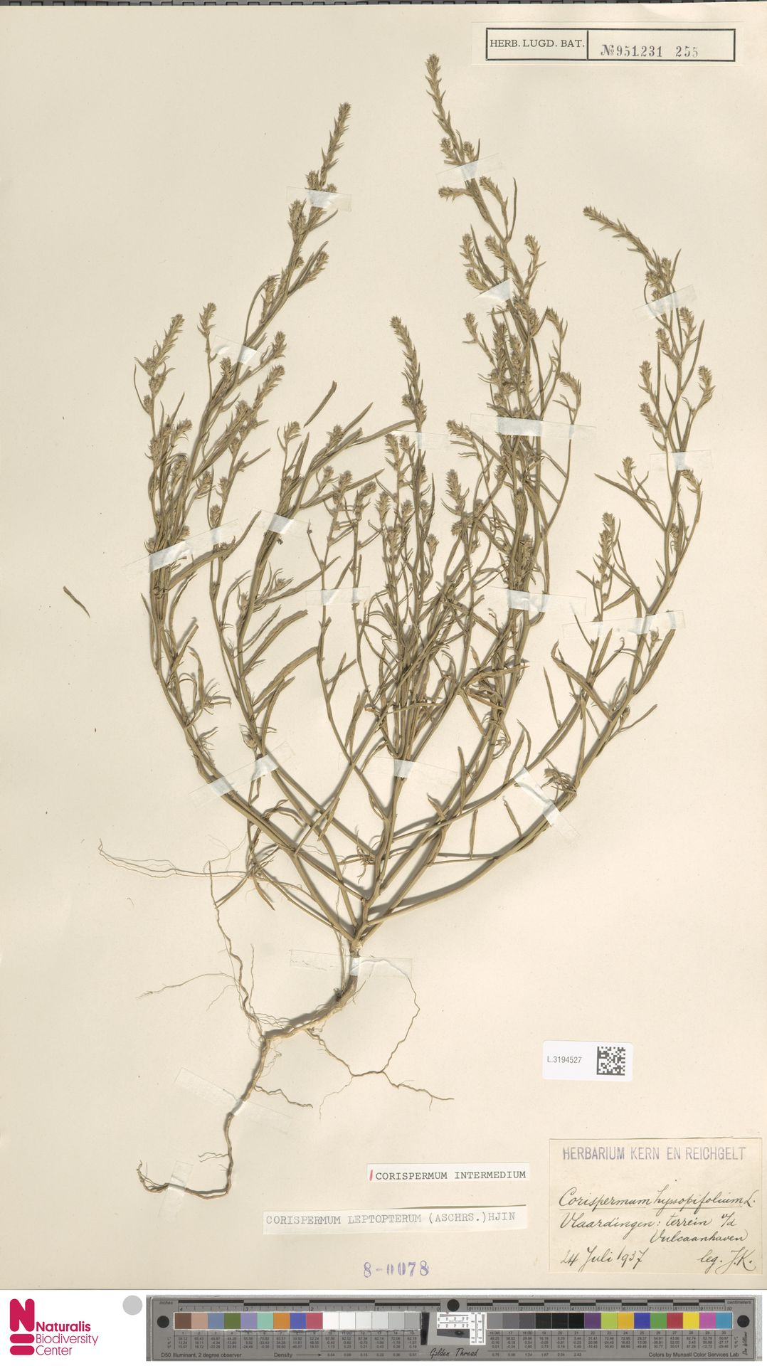 L.3194527 | Corispermum intermedium Schweigg.