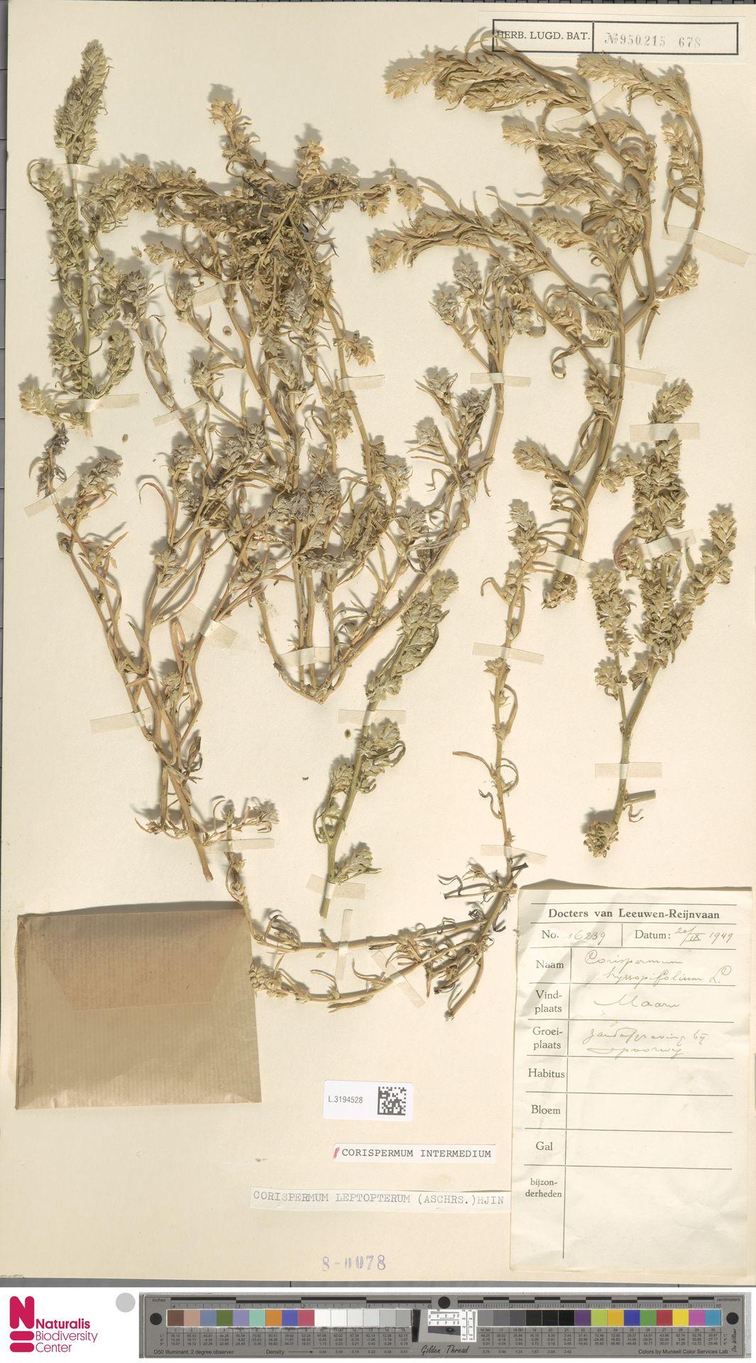 L.3194528 | Corispermum intermedium Schweigg.