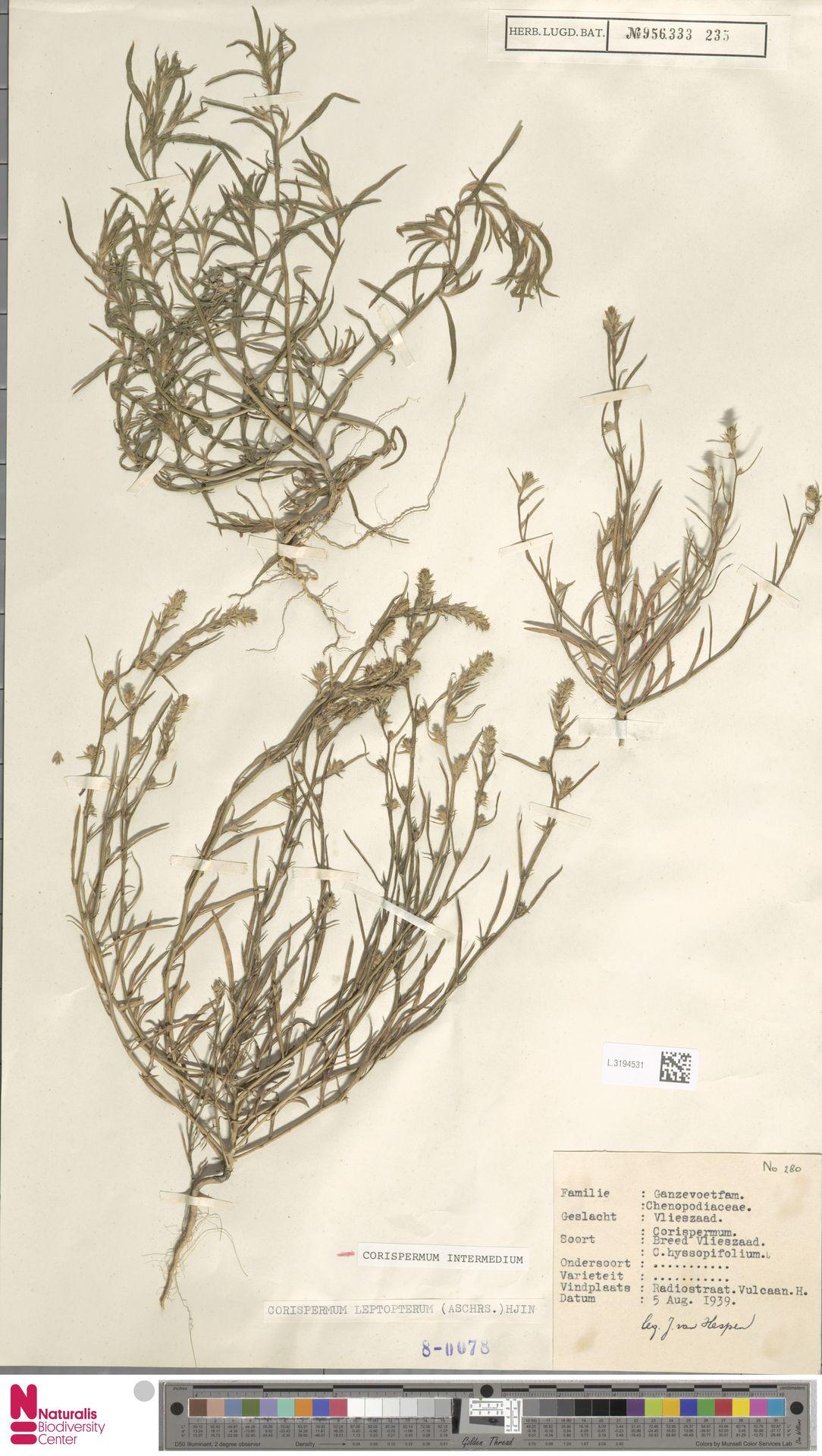 L.3194531 | Corispermum intermedium Schweigg.