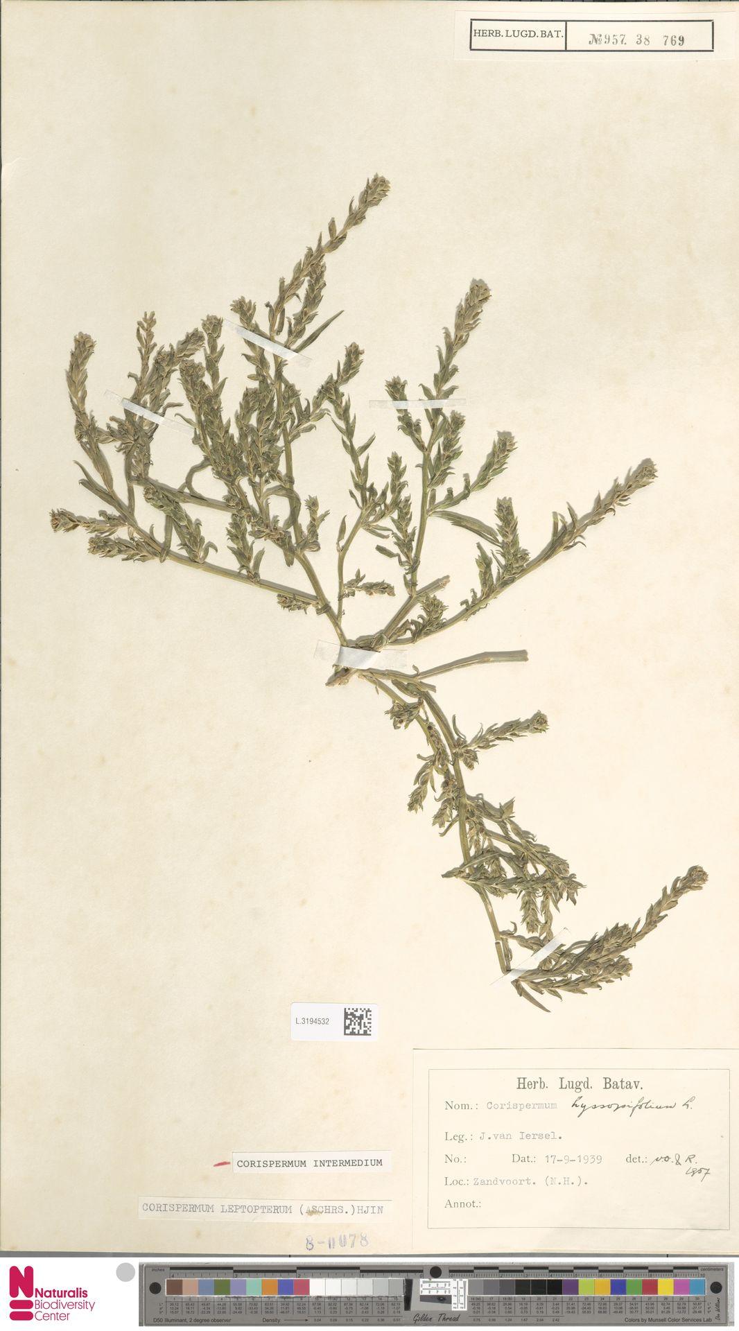 L.3194532 | Corispermum intermedium Schweigg.