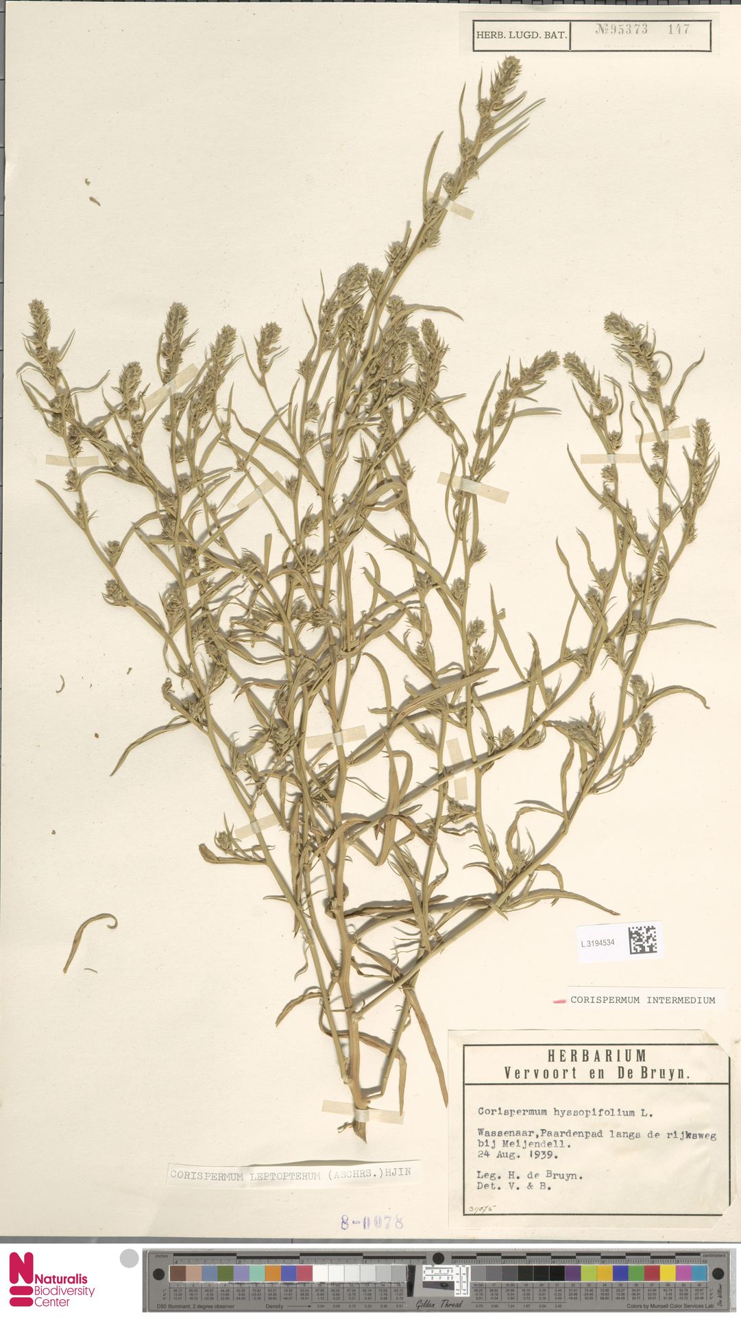L.3194534 | Corispermum intermedium Schweigg.