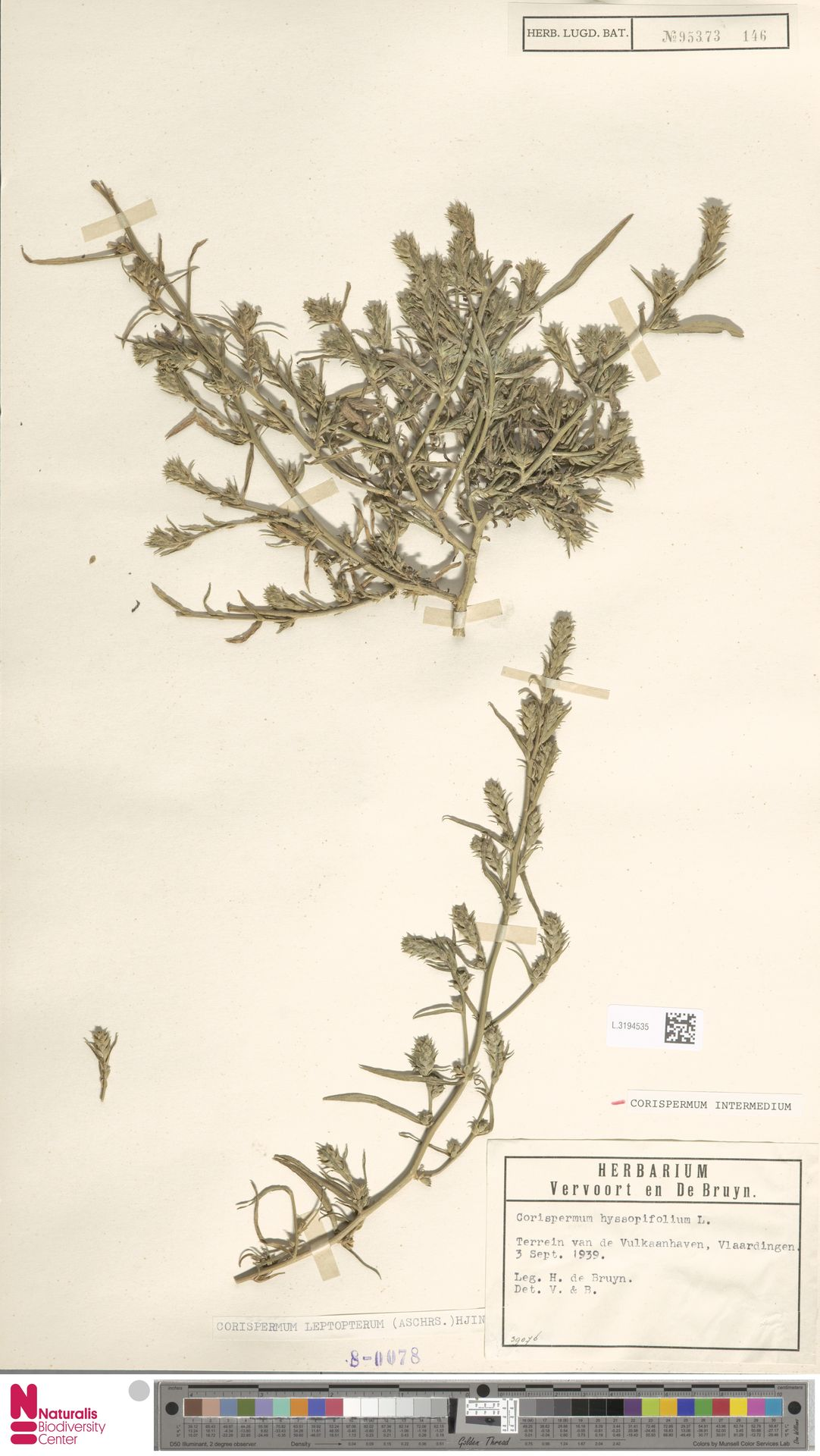 L.3194535 | Corispermum intermedium Schweigg.