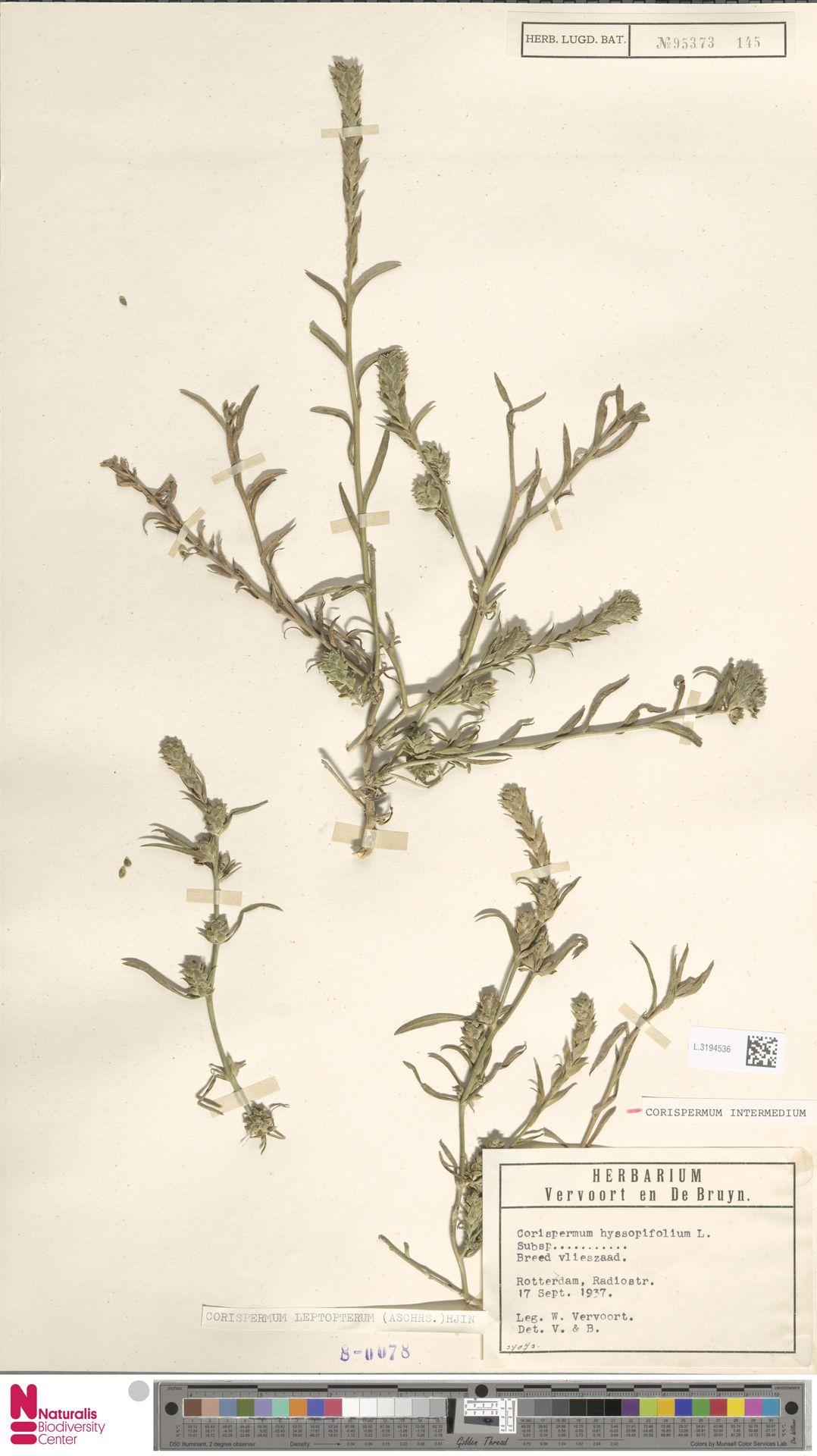 L.3194536   Corispermum intermedium Schweigg.