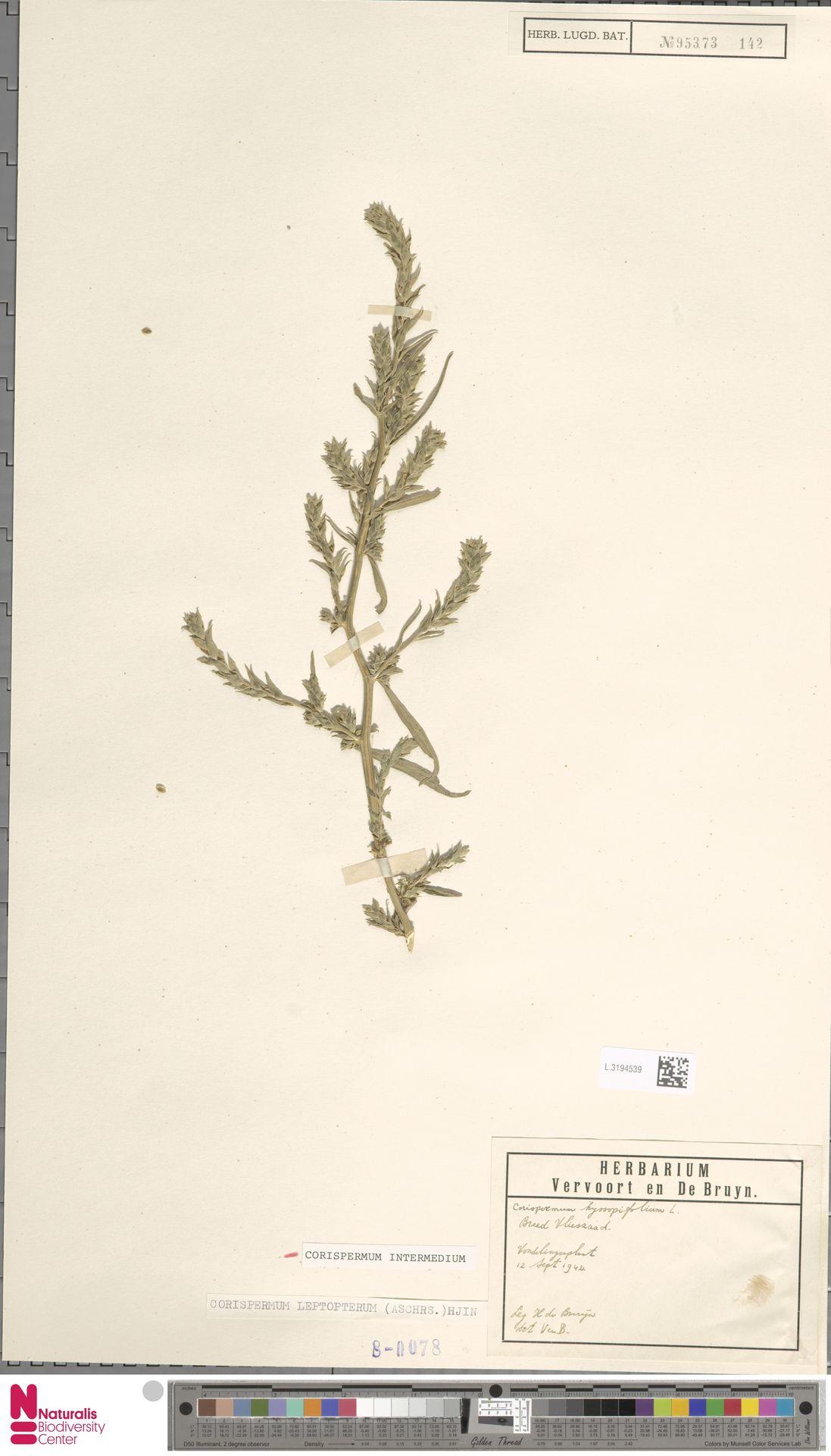 L.3194539 | Corispermum intermedium Schweigg.