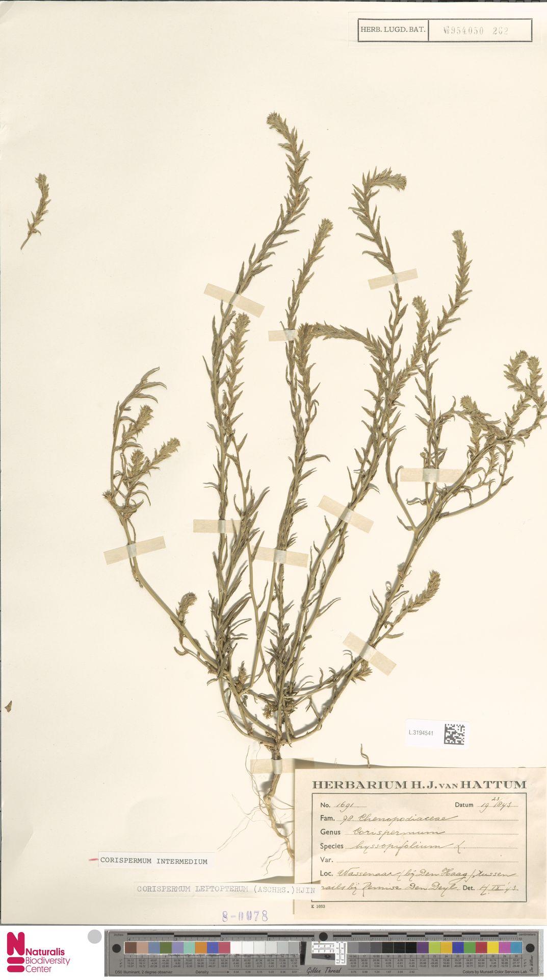 L.3194541 | Corispermum intermedium Schweigg.