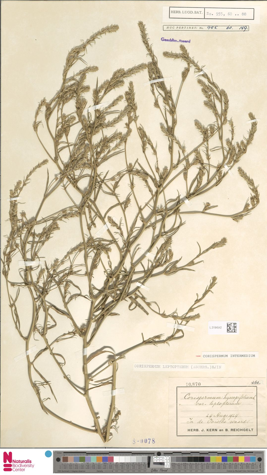 L.3194542 | Corispermum intermedium Schweigg.