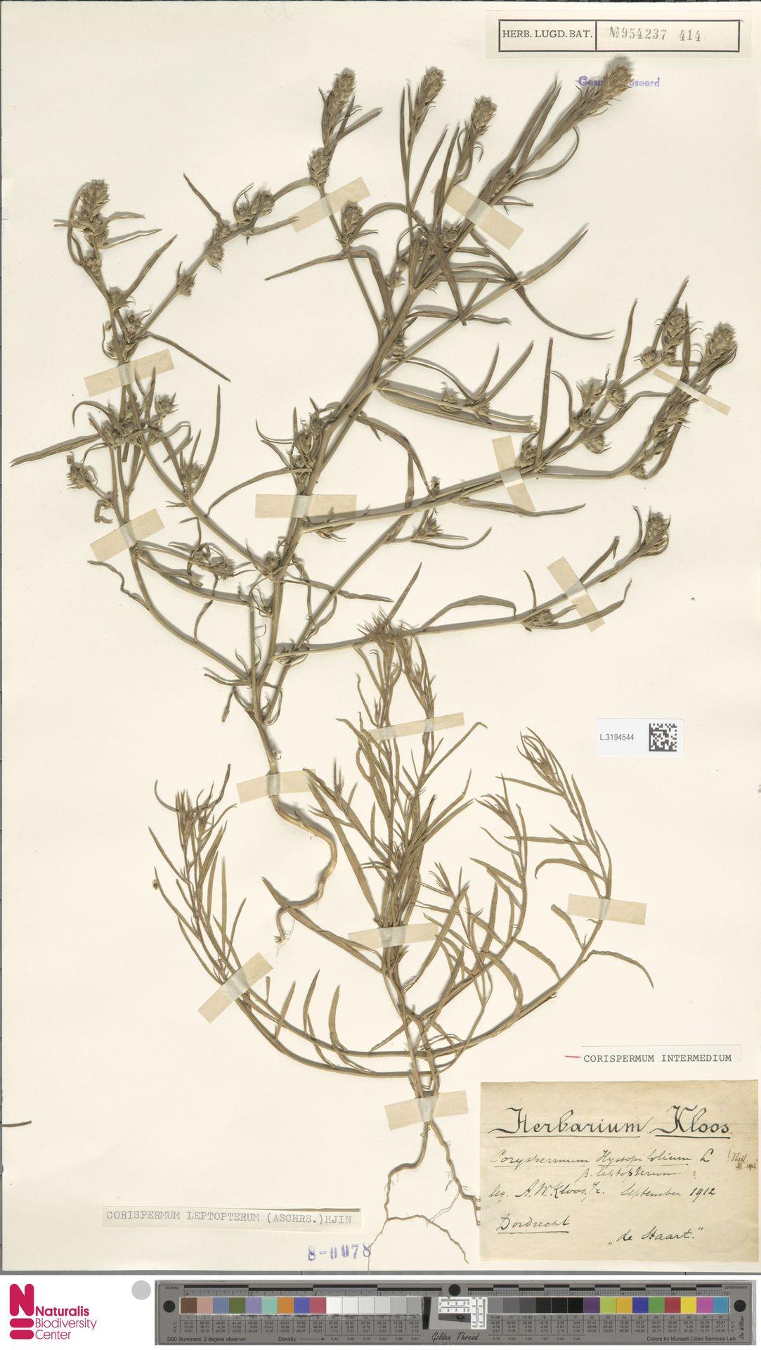 L.3194544 | Corispermum intermedium Schweigg.