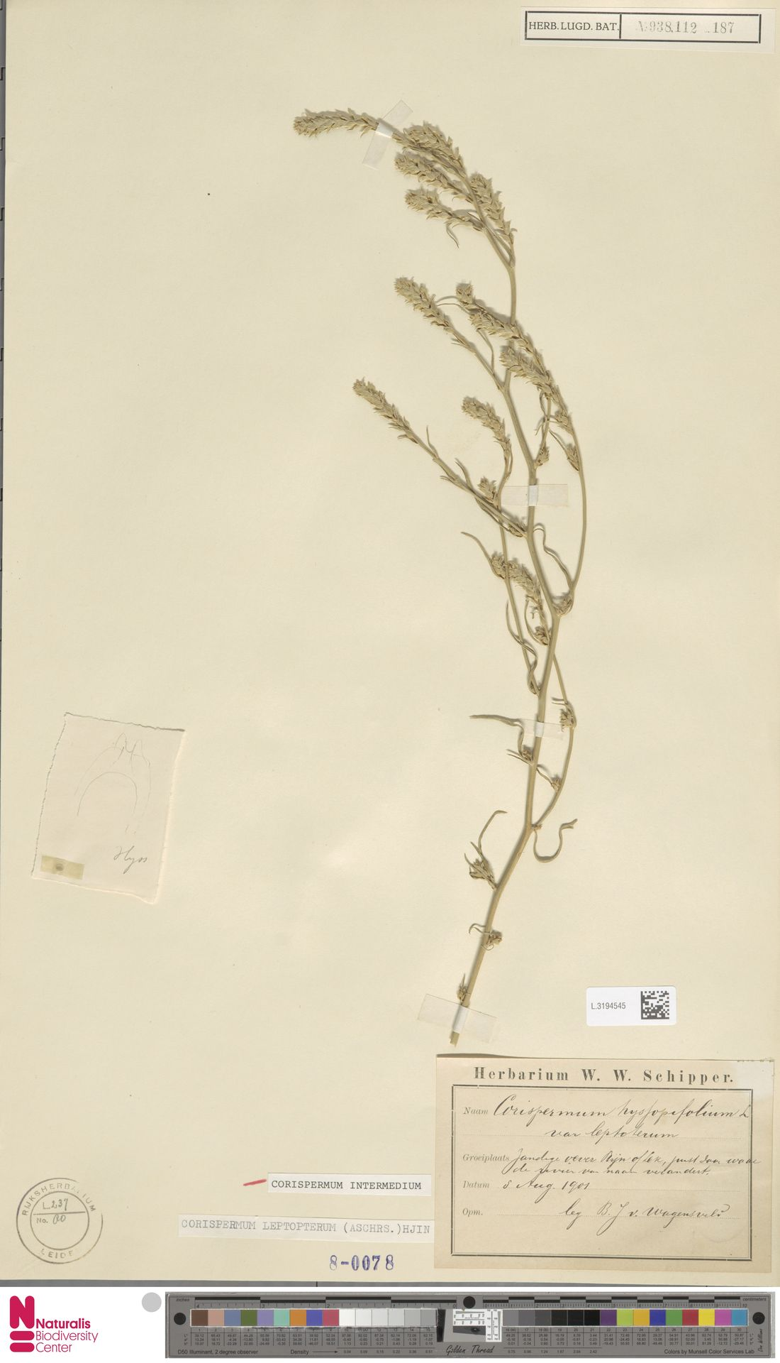 L.3194545 | Corispermum intermedium Schweigg.